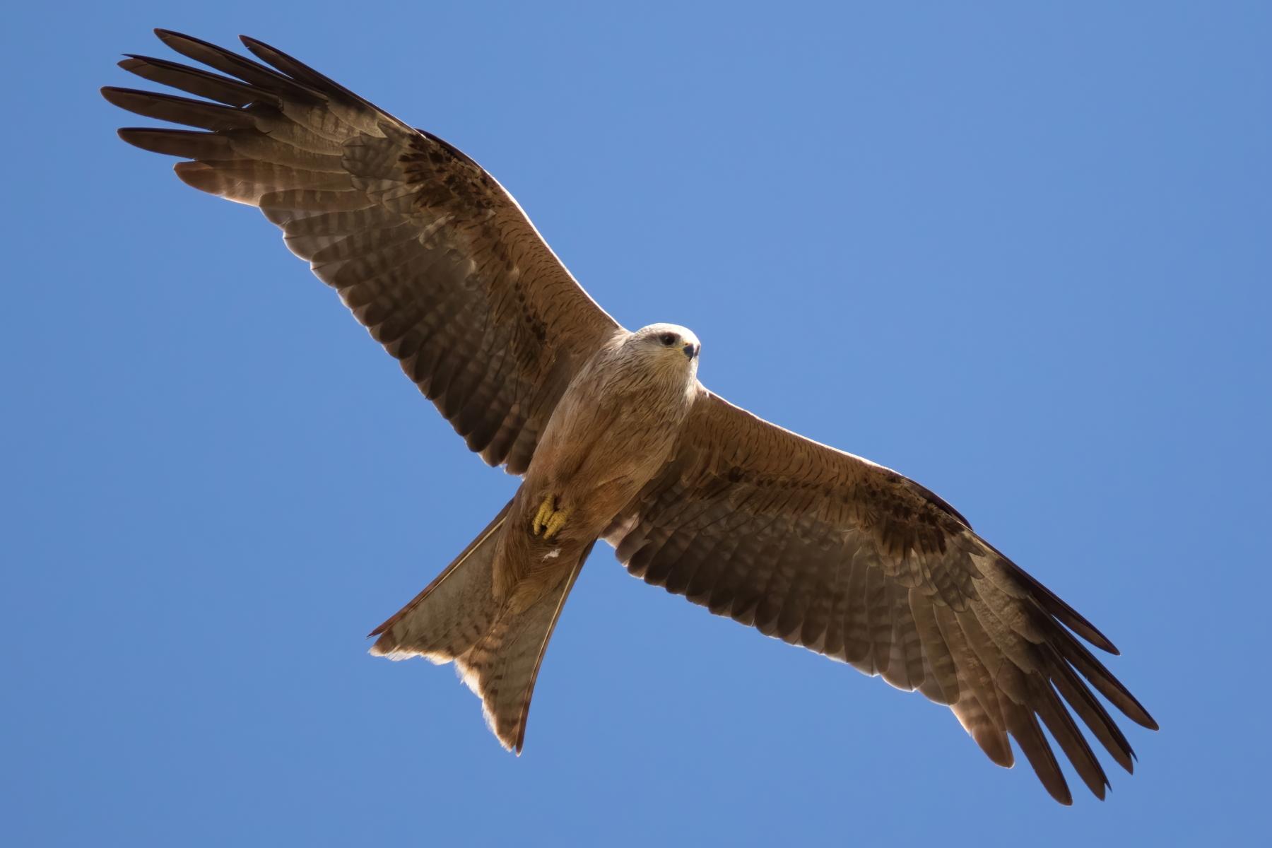 Black Kite (Image ID 43842)