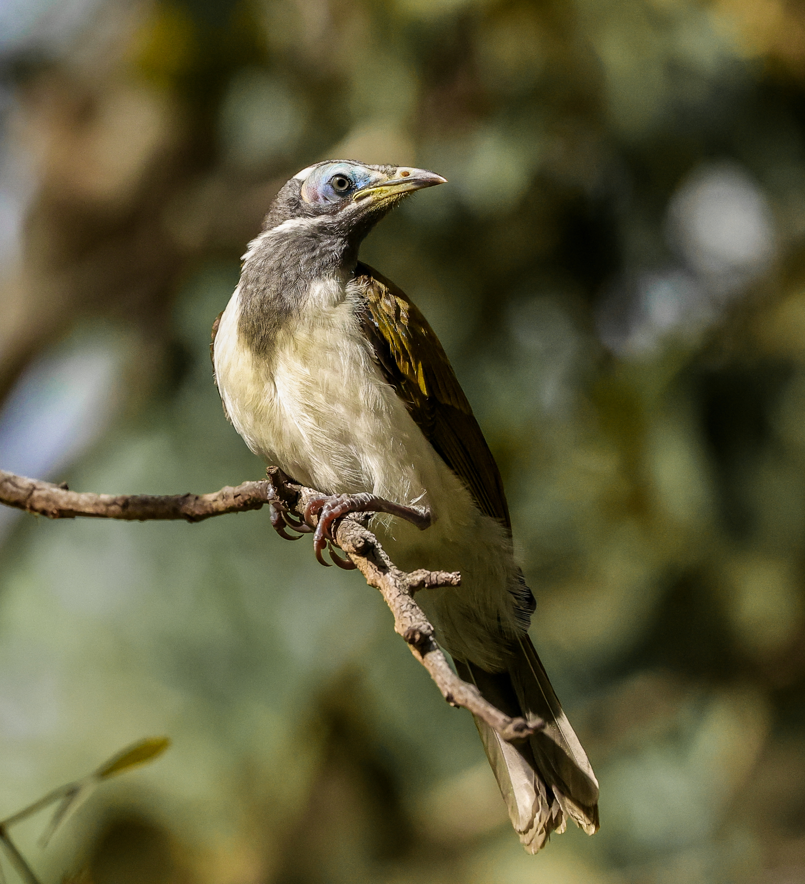 Blue-faced Honeyeater (Image ID 43713)