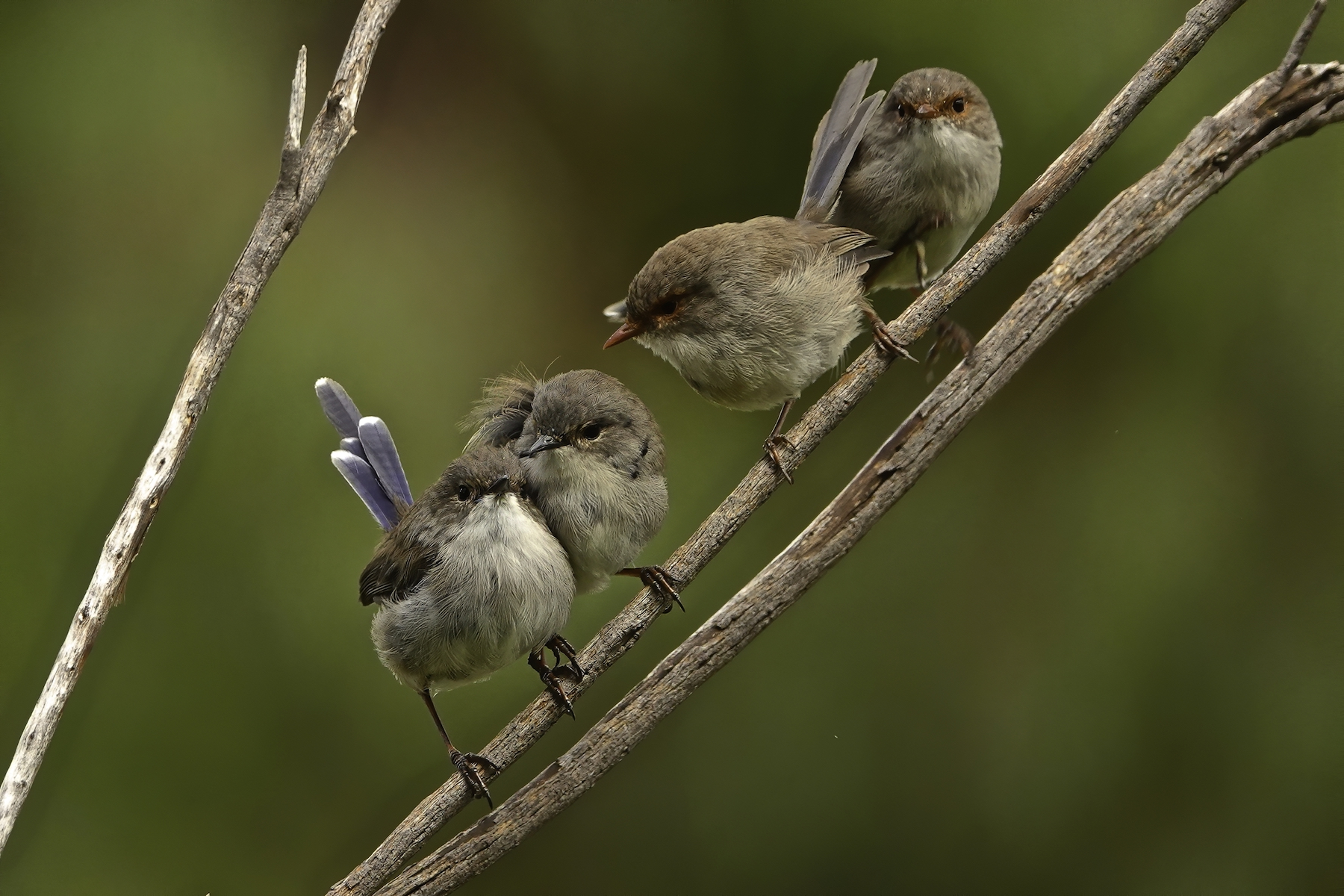 Superb Fairy-wren (Image ID 44495)