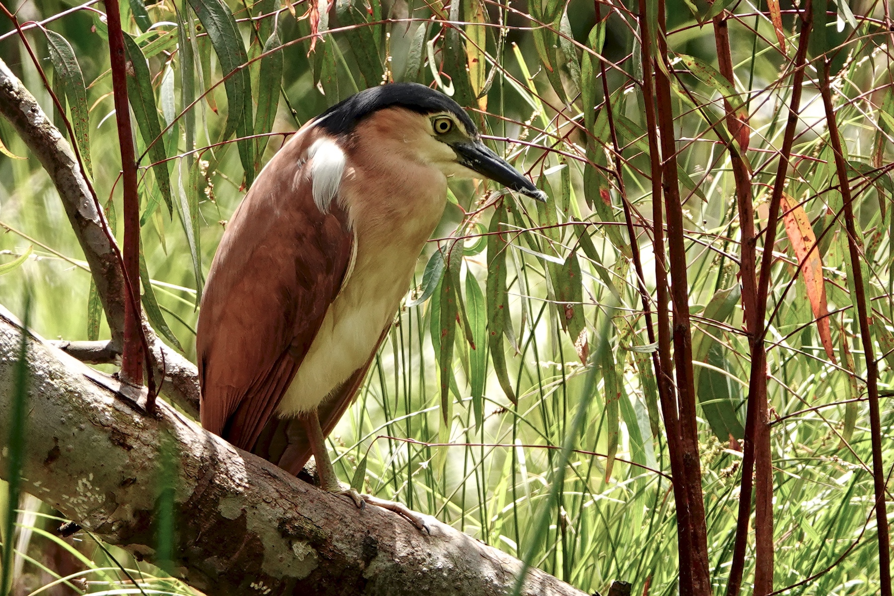 Nankeen Night-Heron (Image ID 44157)