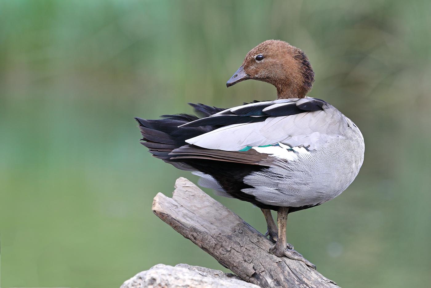 Australian Wood Duck (Image ID 44088)