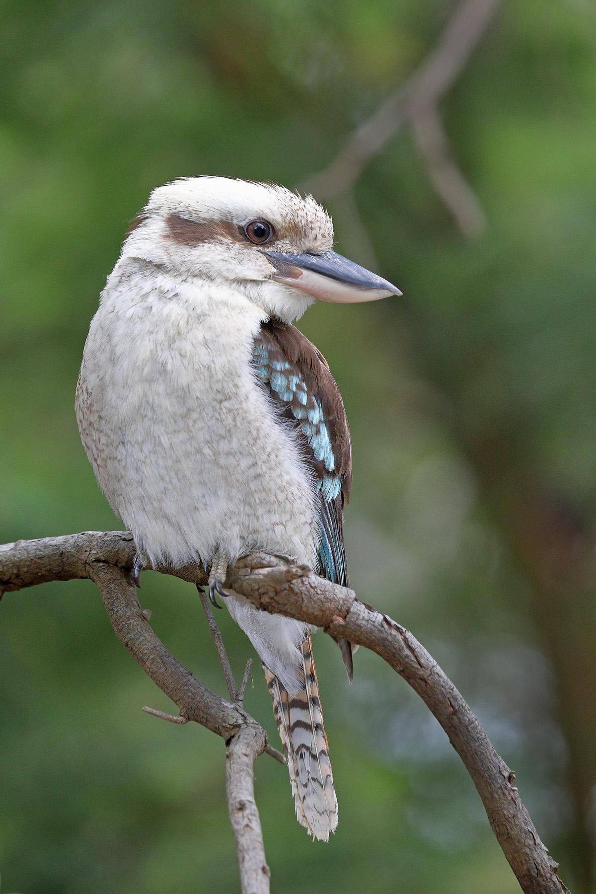 Laughing Kookaburra (Image ID 44508)