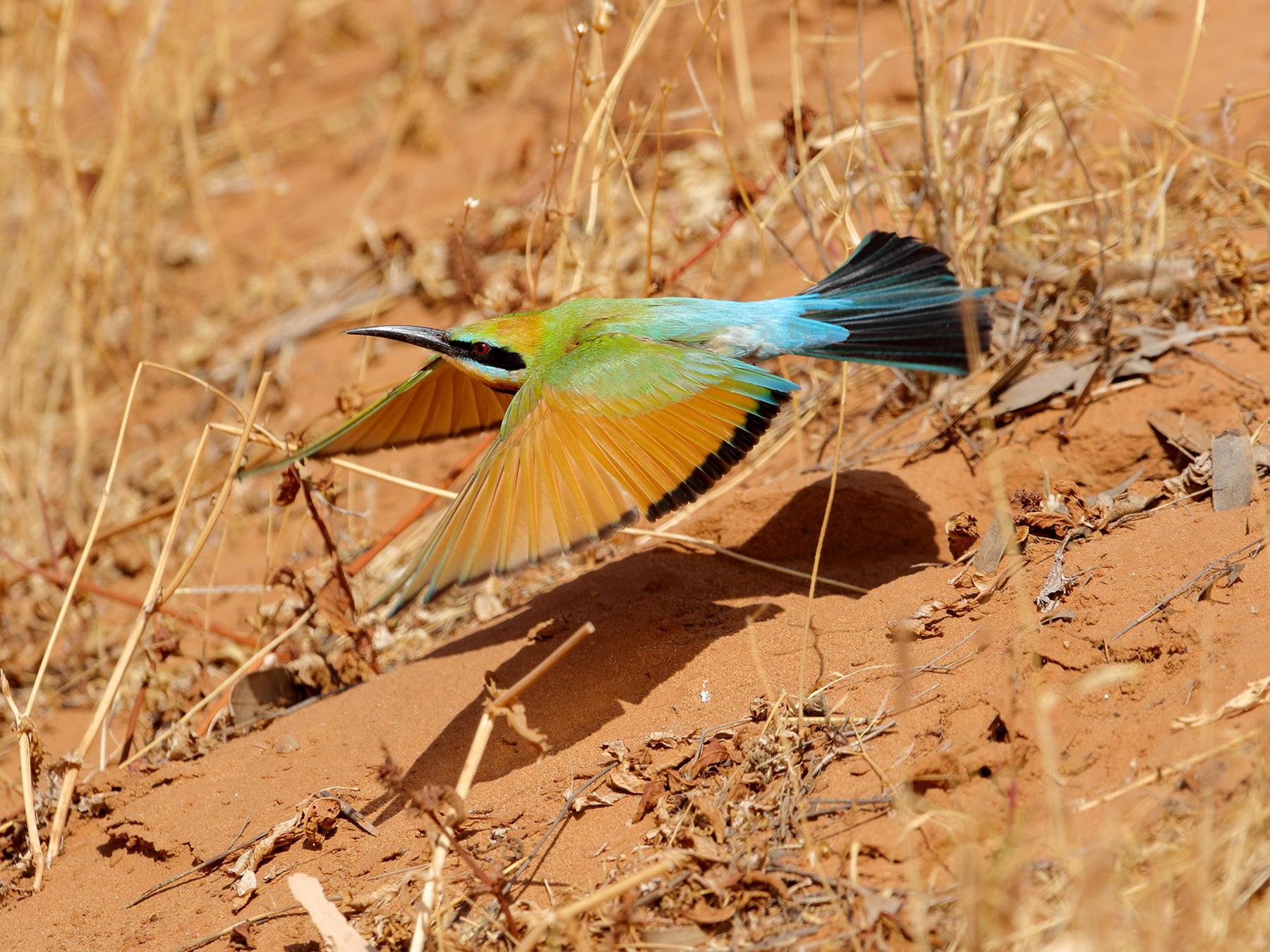 Rainbow Bee-eater (Image ID 44435)