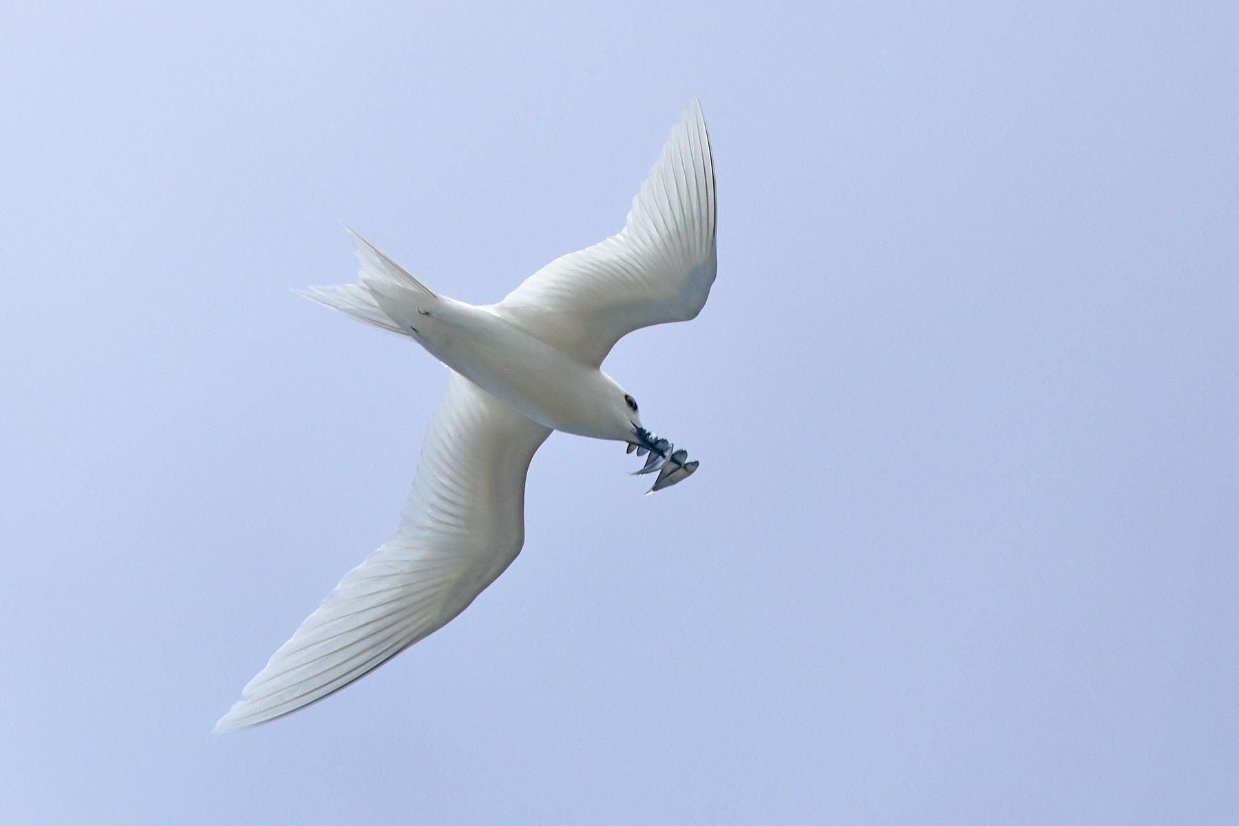 White Tern (Image ID 44443)