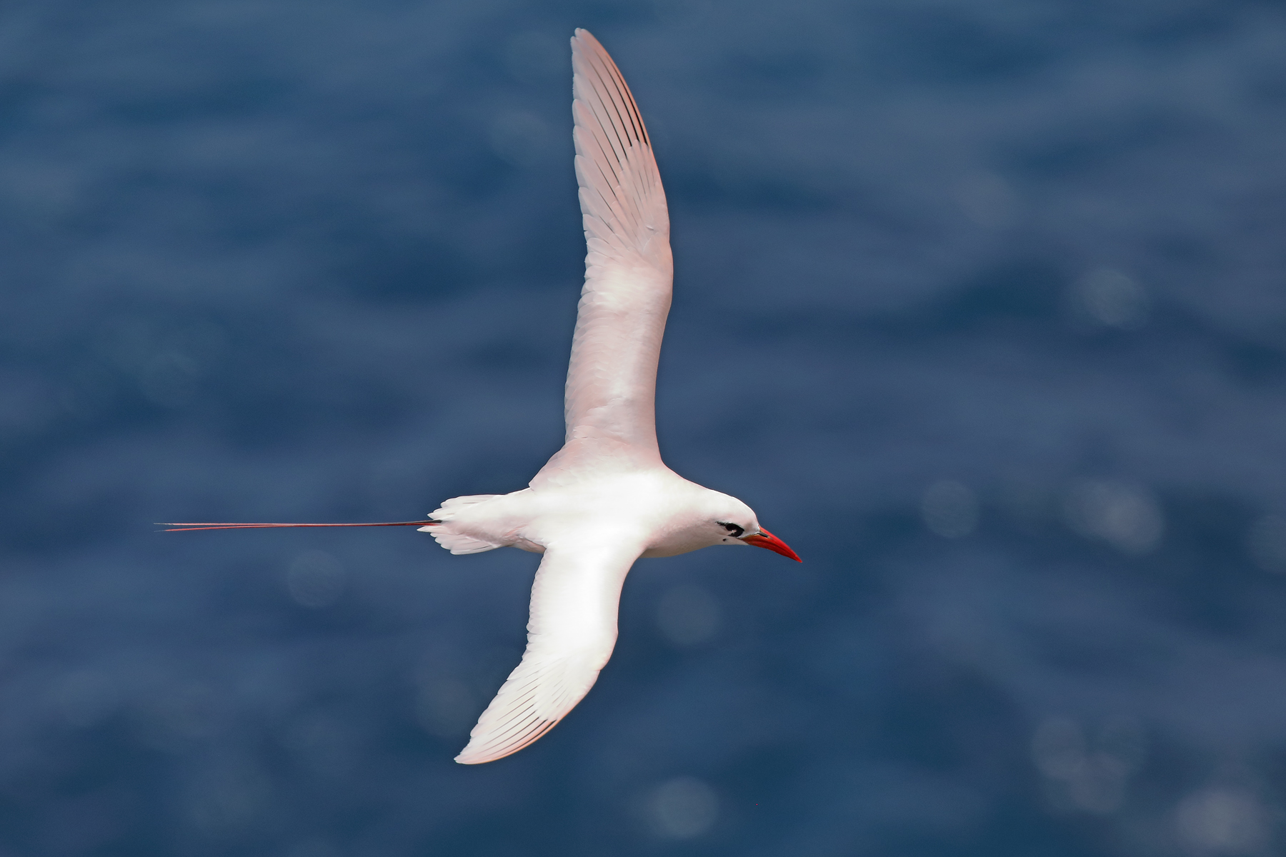 Red-tailed Tropicbird (Image ID 44444)
