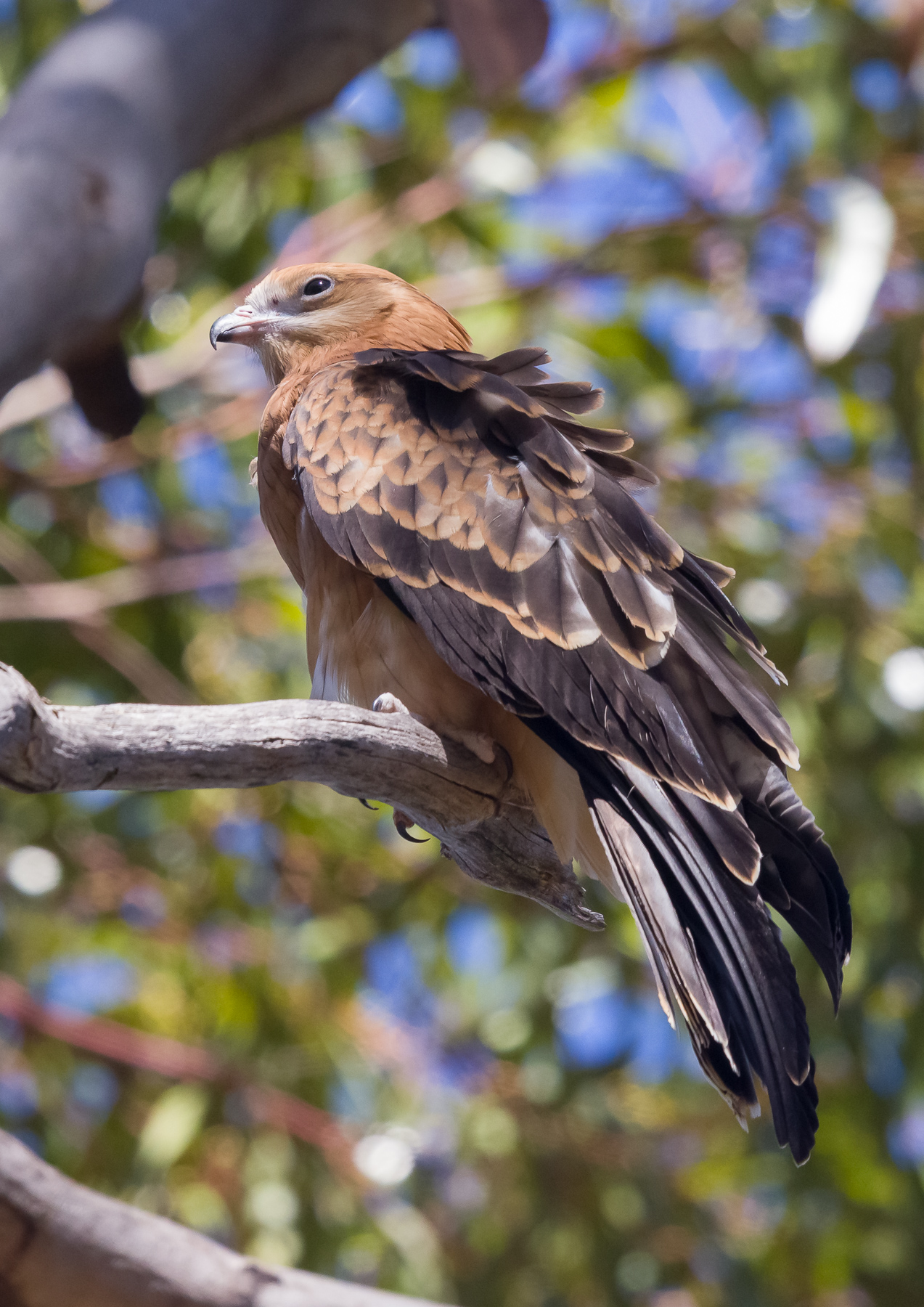 Square-tailed Kite (Image ID 44171)