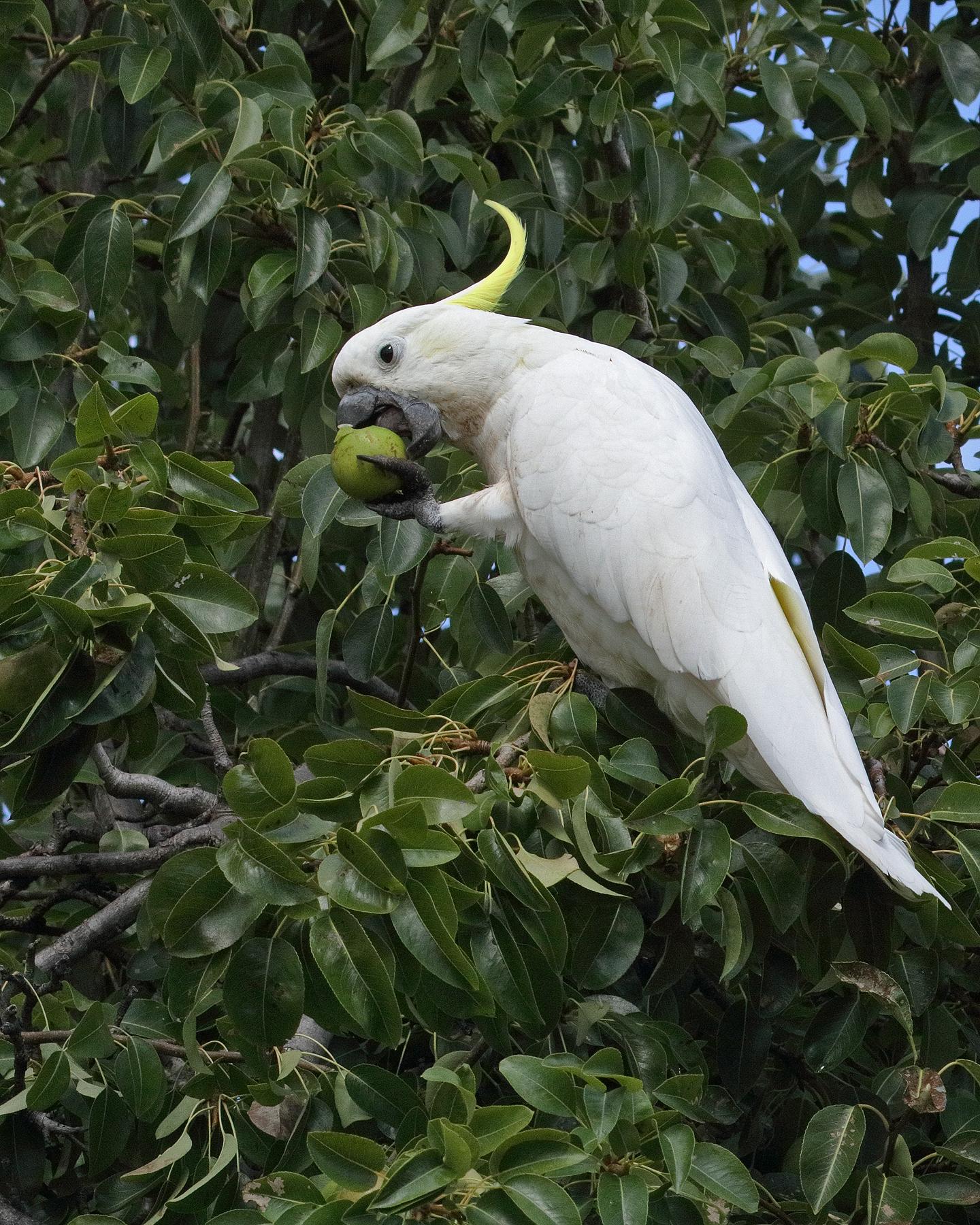 Sulphur-crested Cockatoo (Image ID 44237)
