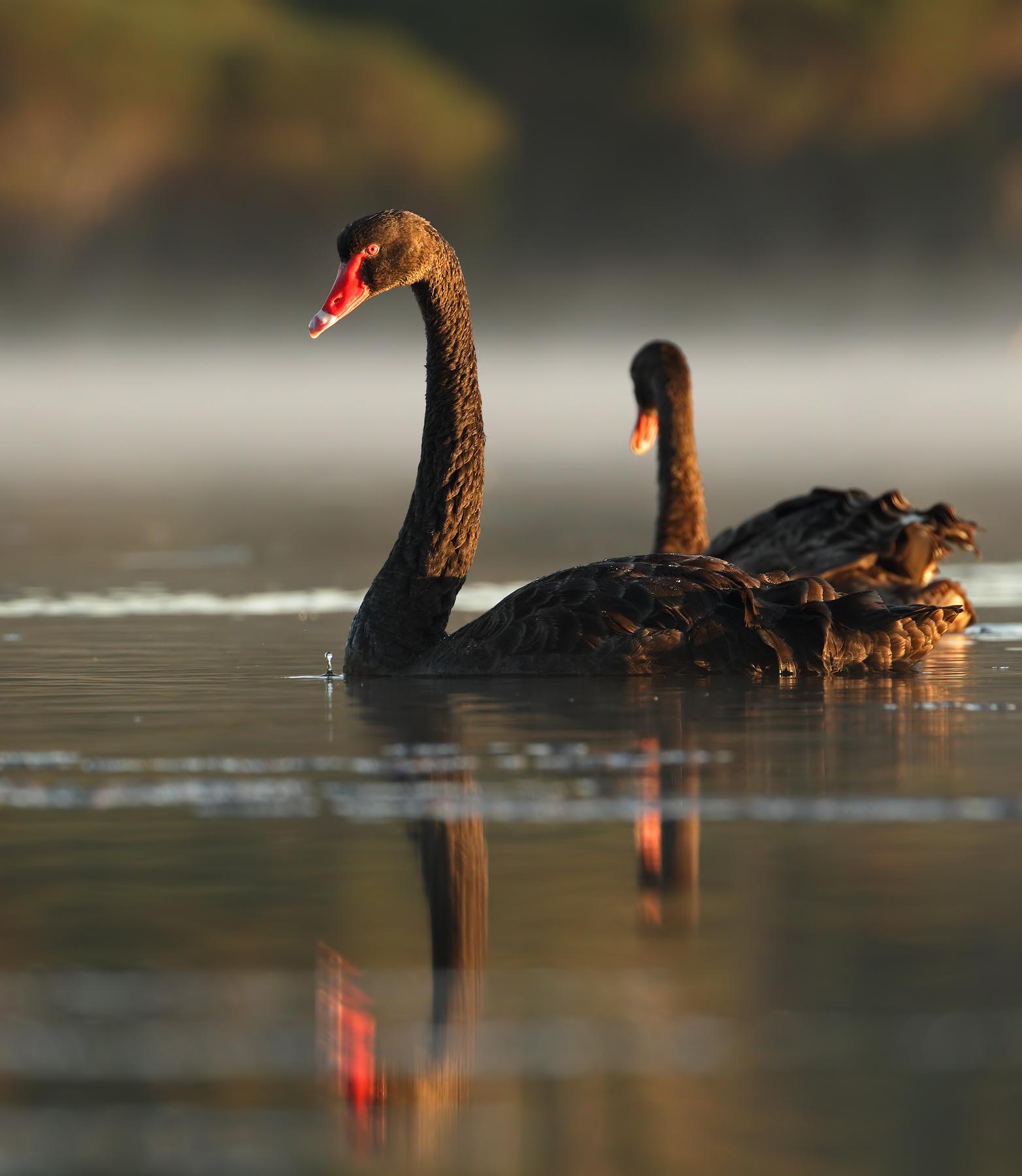 Black Swan (Image ID 44228)