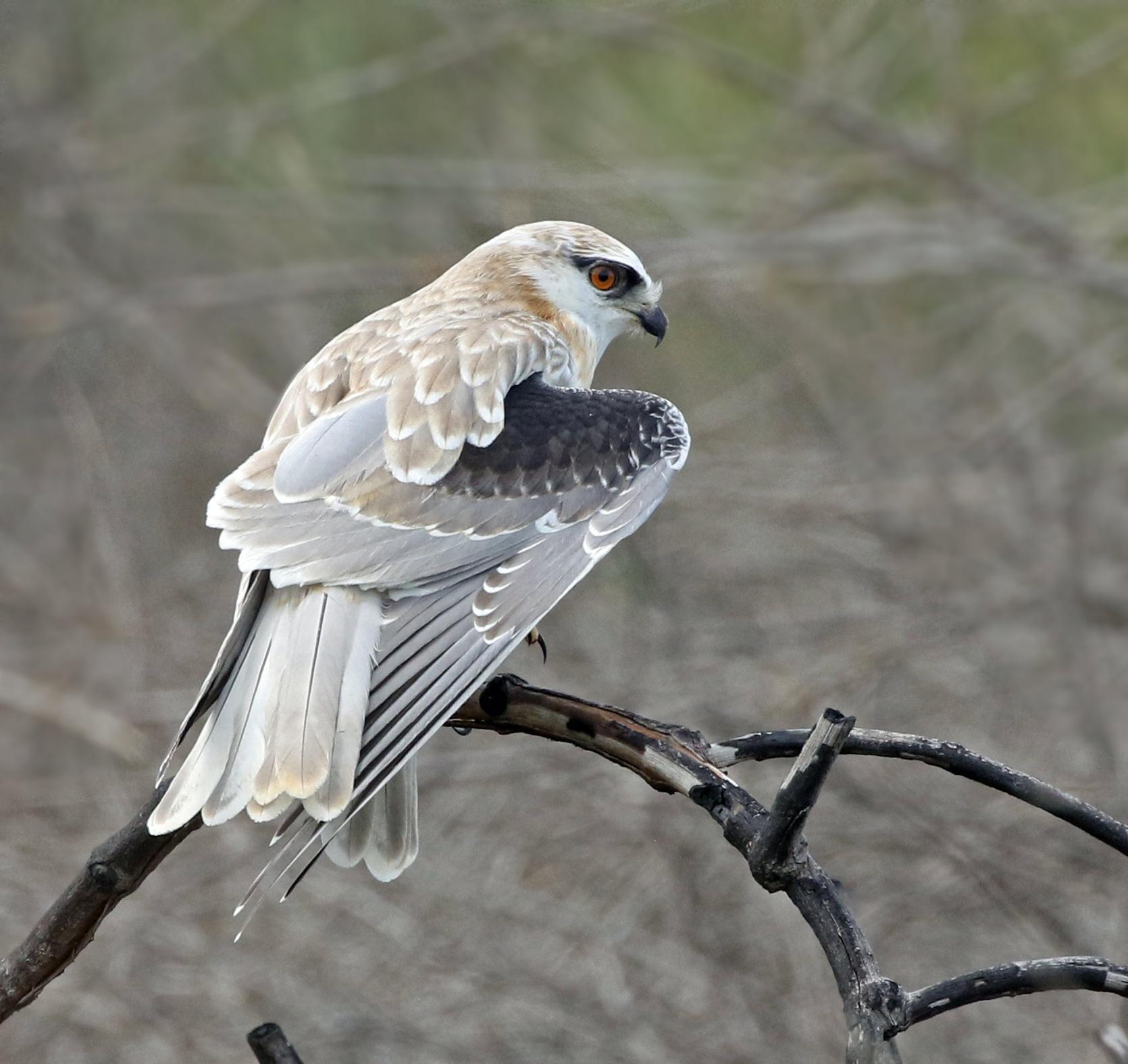 Black-shouldered Kite (Image ID 44421)