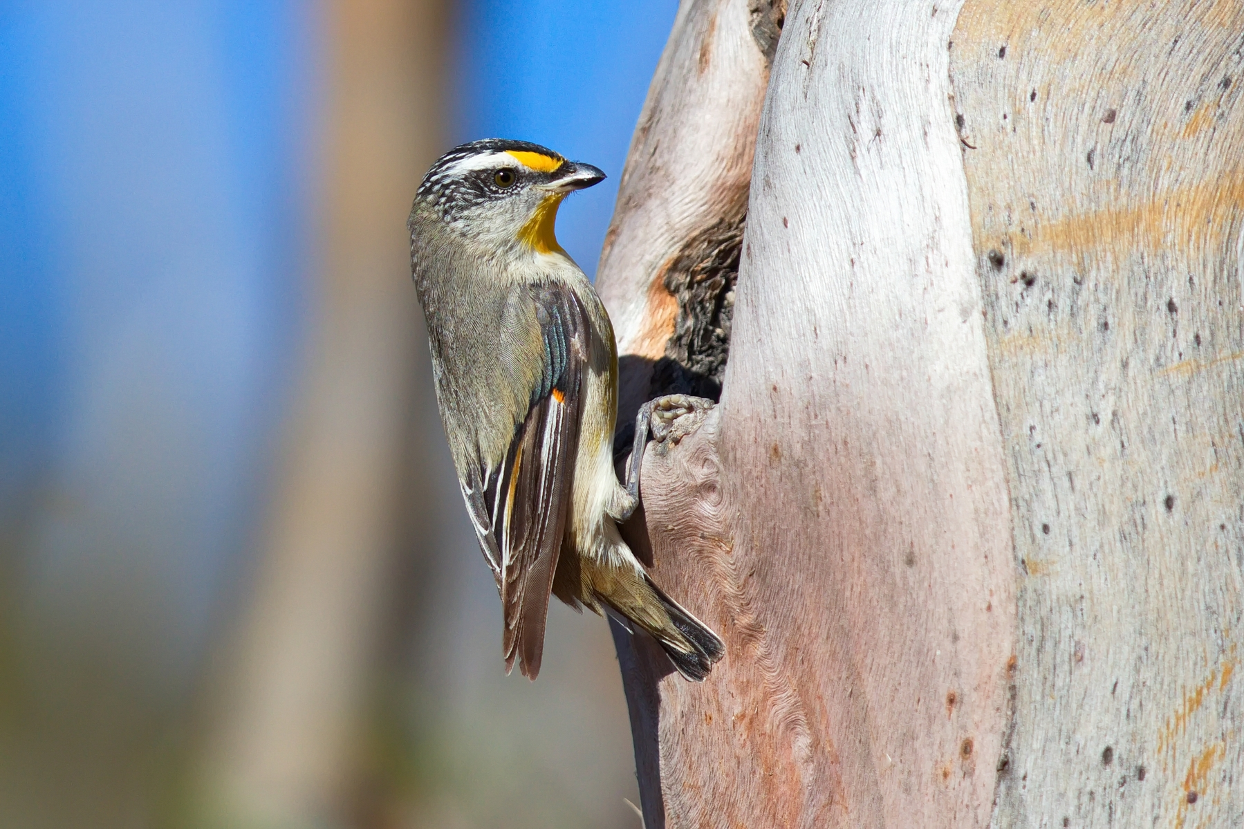 Striated Pardalote (Image ID 44517)