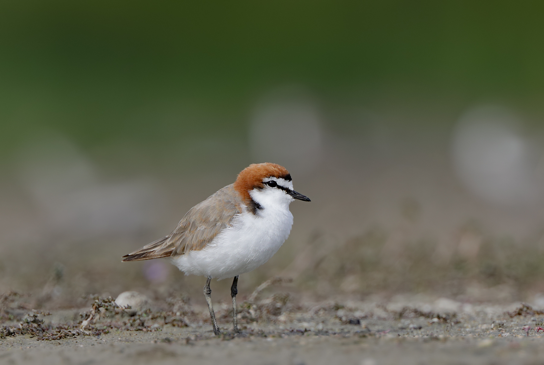 Red-capped Plover (Image ID 44086)