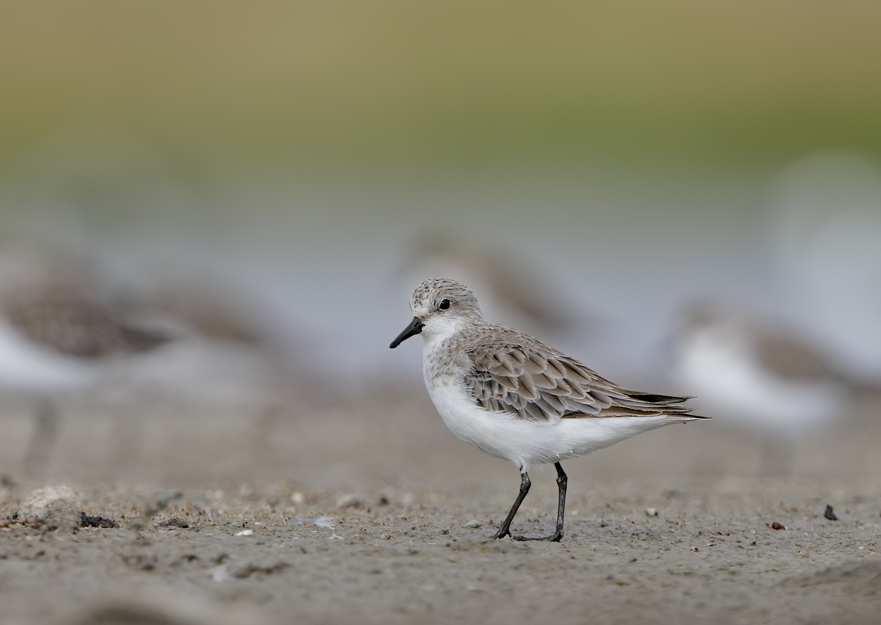 Red-necked Stint (Image ID 44087)