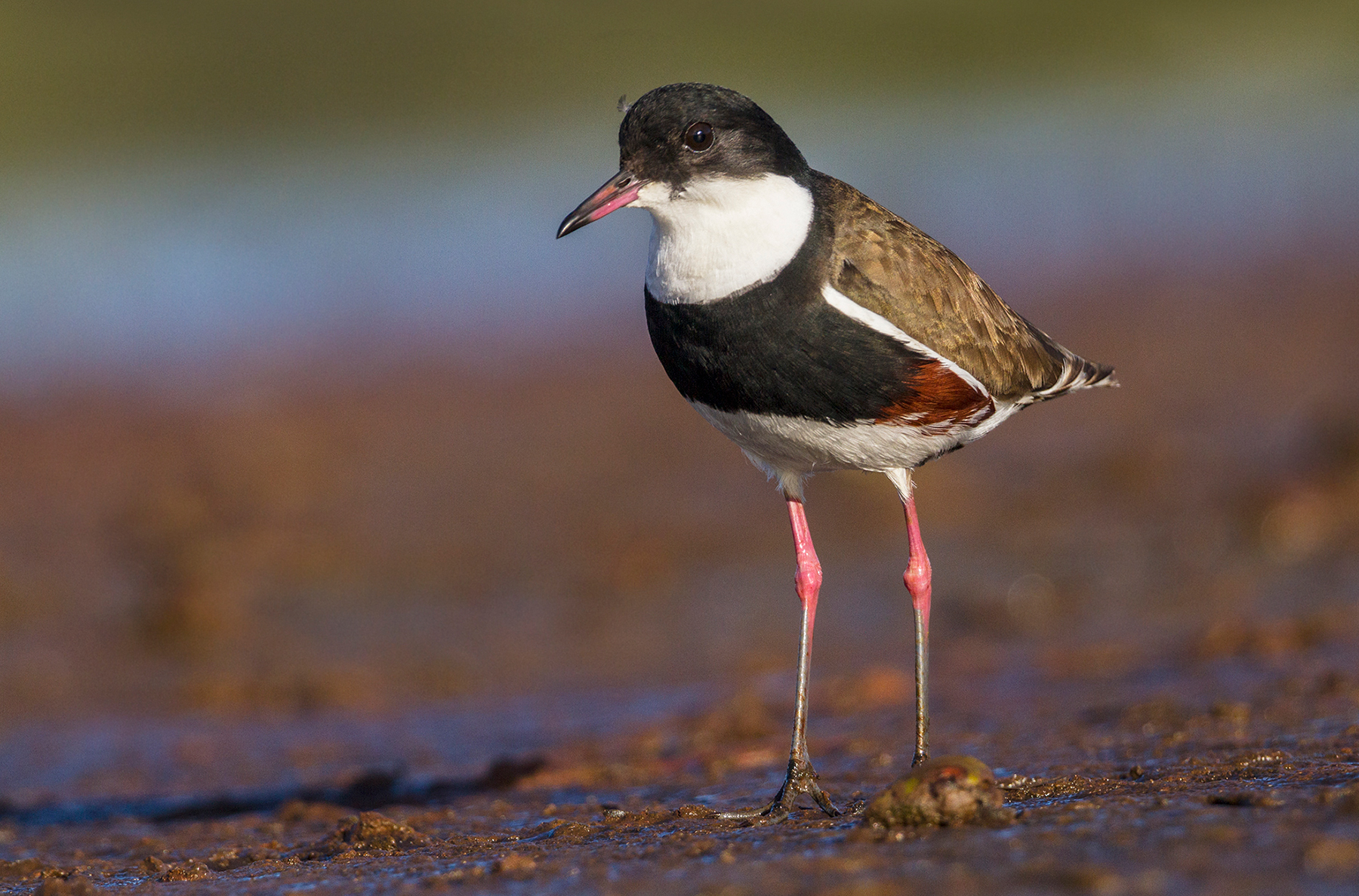 Red-kneed Dotterel (Image ID 44343)