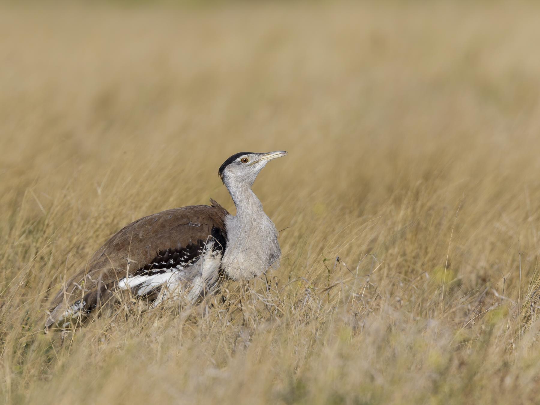 Australian Bustard (Image ID 44373)
