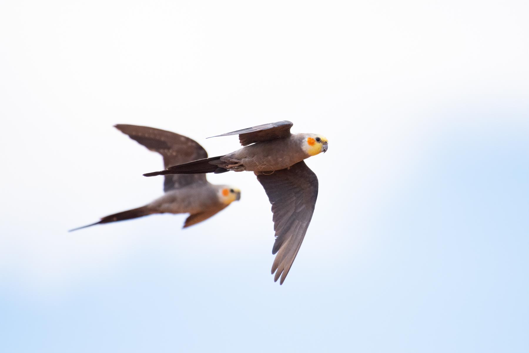 Cockatiel (Image ID 44126)