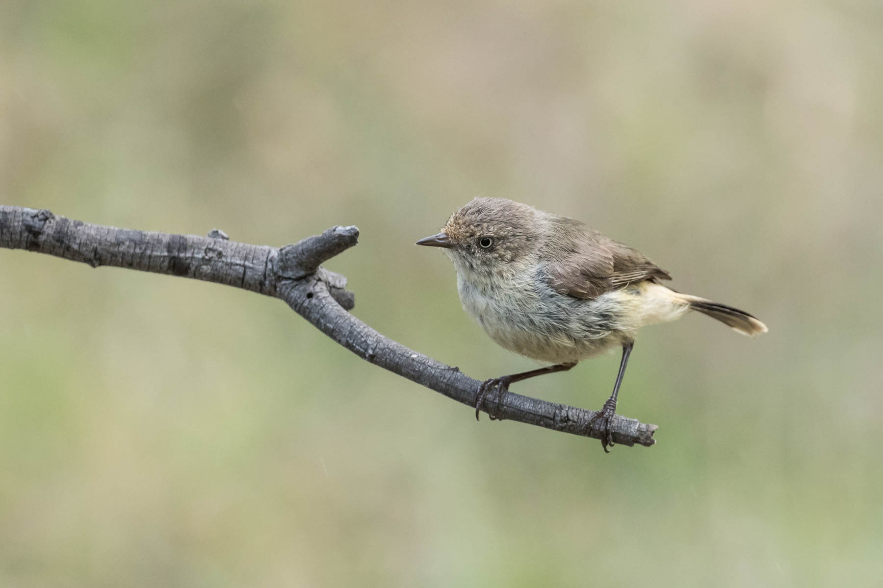 Buff-rumped Thornbill (Image ID 44082)