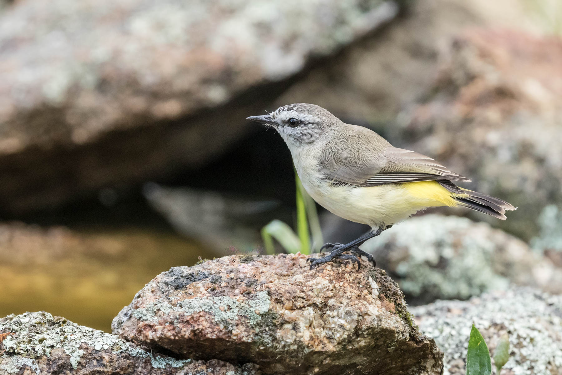 Yellow-rumped Thornbill (Image ID 44064)