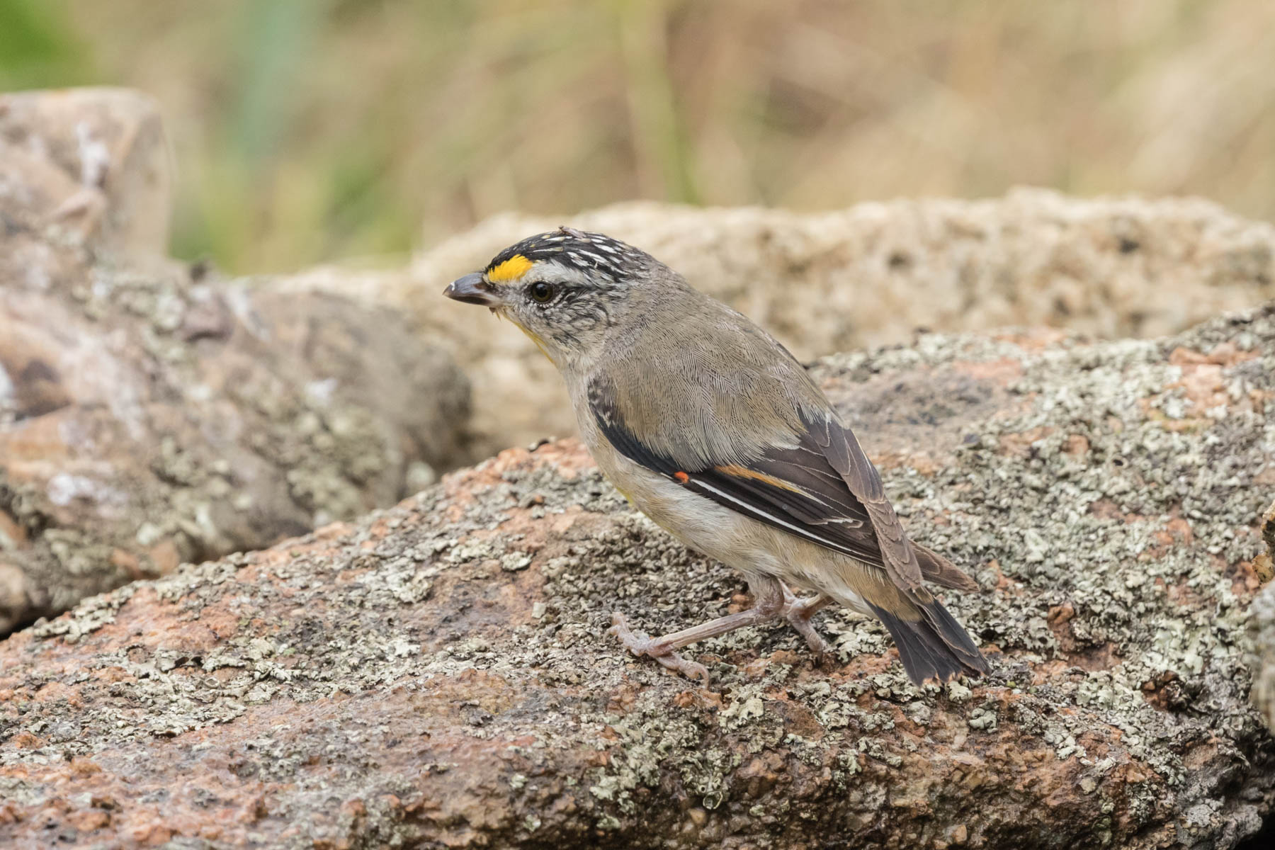Striated Pardalote (Image ID 44130)