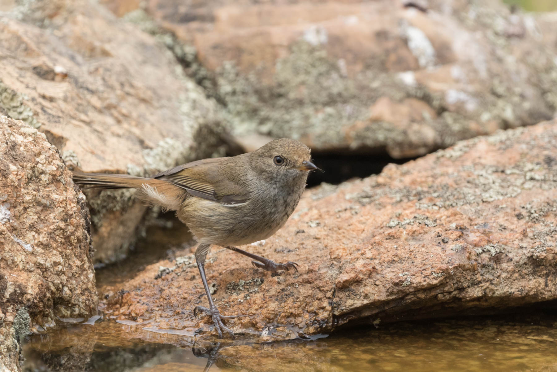 Brown Thornbill (Image ID 44092)