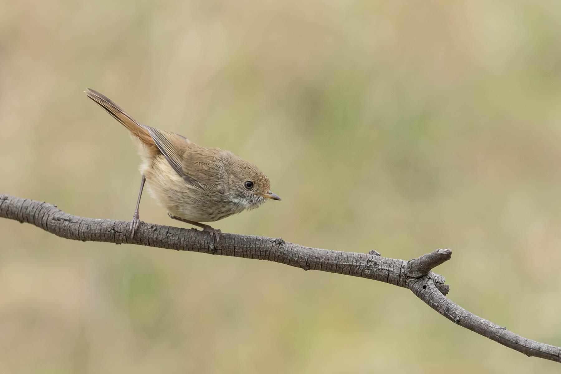 Brown Thornbill (Image ID 44127)