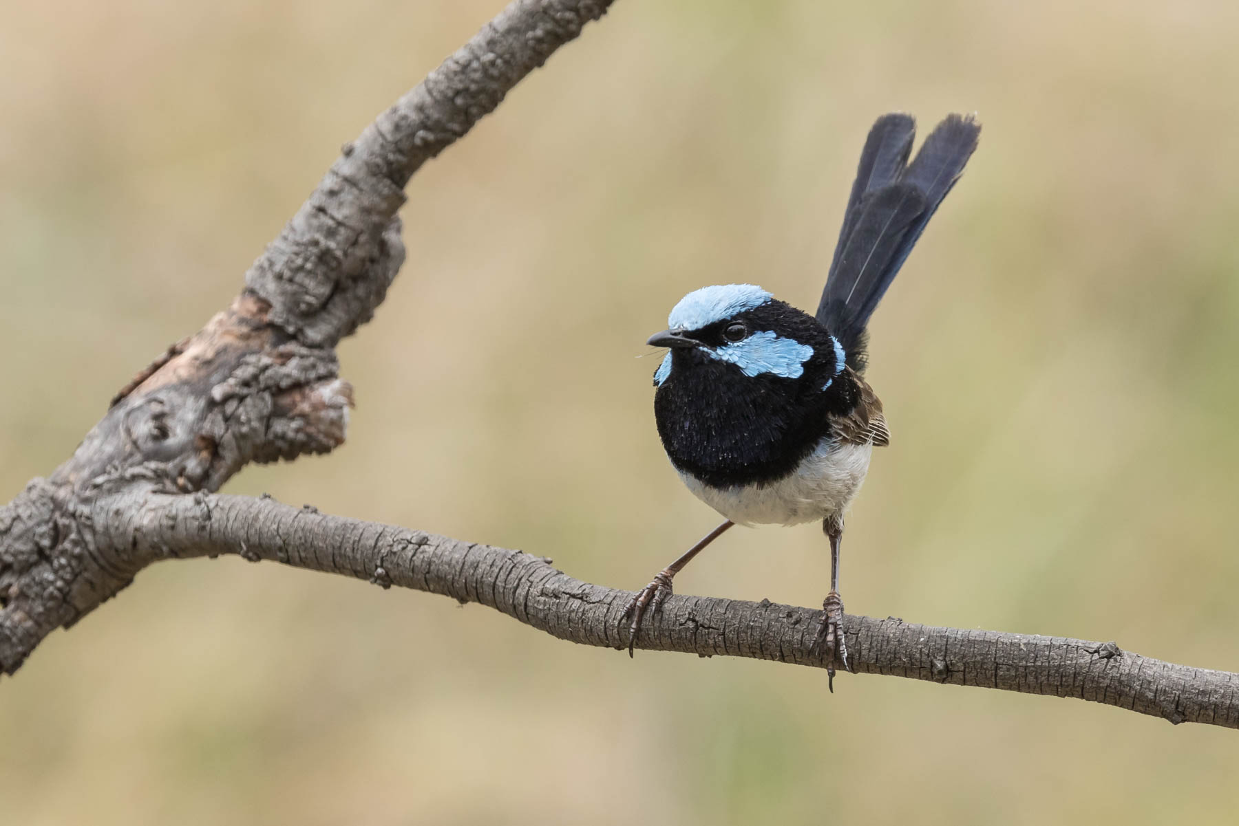 Superb Fairy-wren (Image ID 44093)
