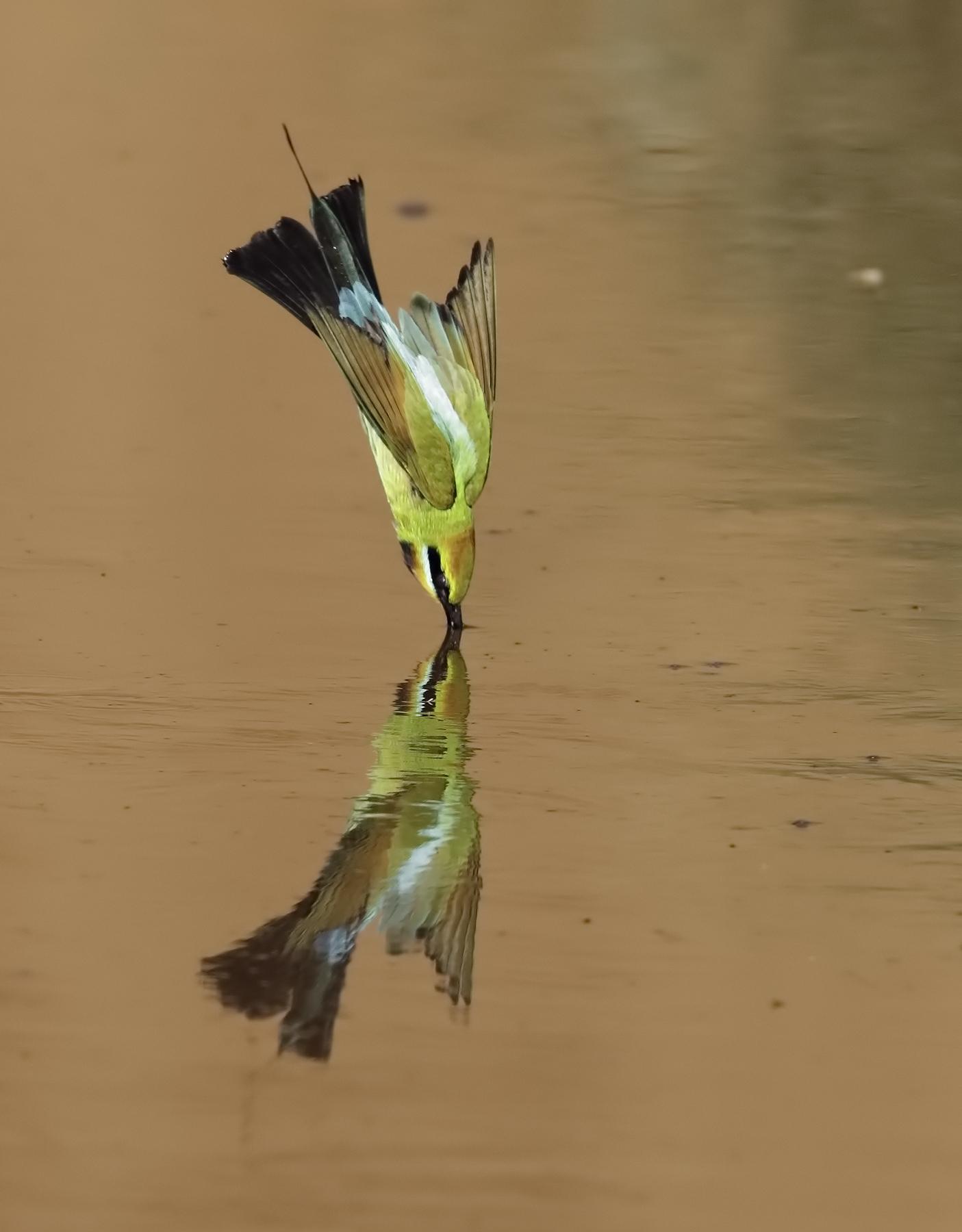 Rainbow Bee-eater (Image ID 44257)