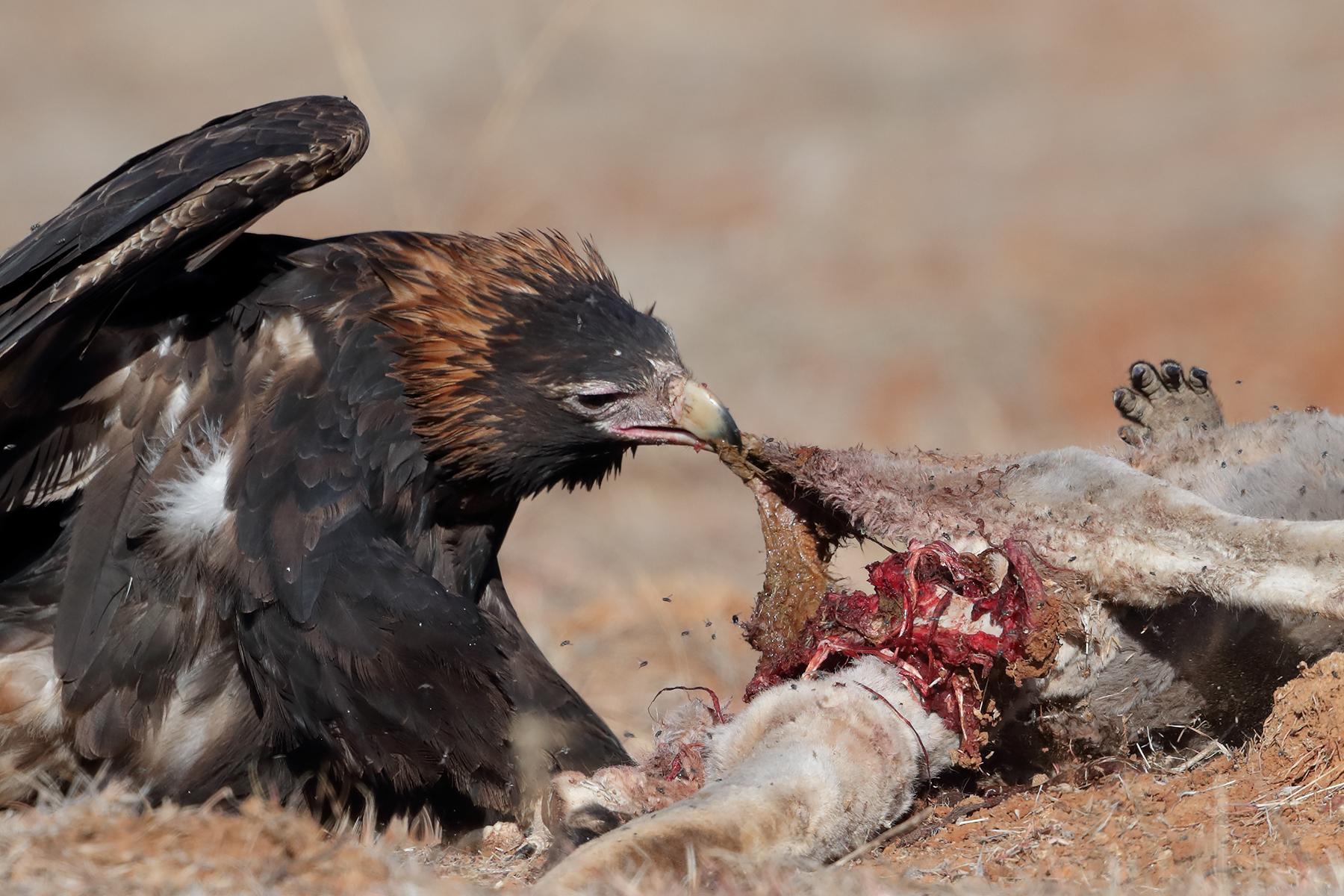 Wedge-tailed Eagle (Image ID 44255)