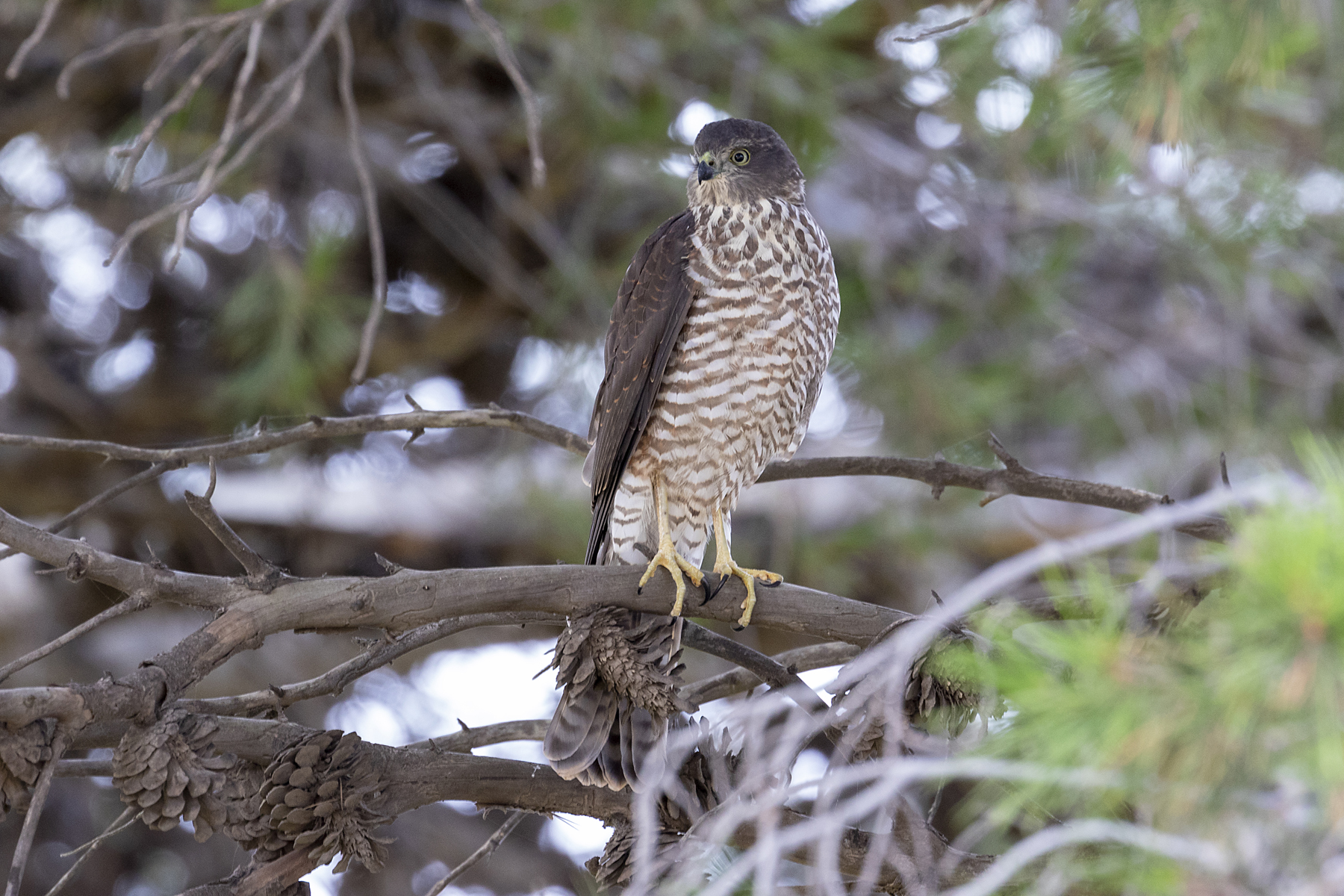 Collared Sparrowhawk (Image ID 44383)