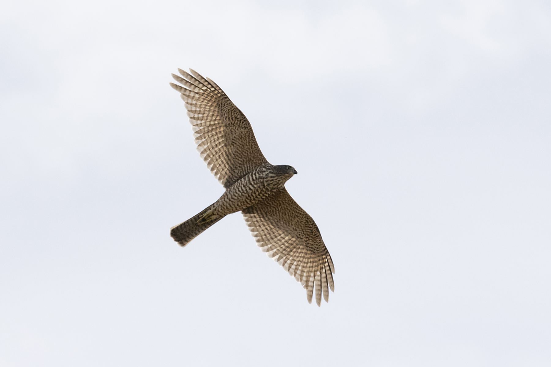Collared Sparrowhawk (Image ID 44384)