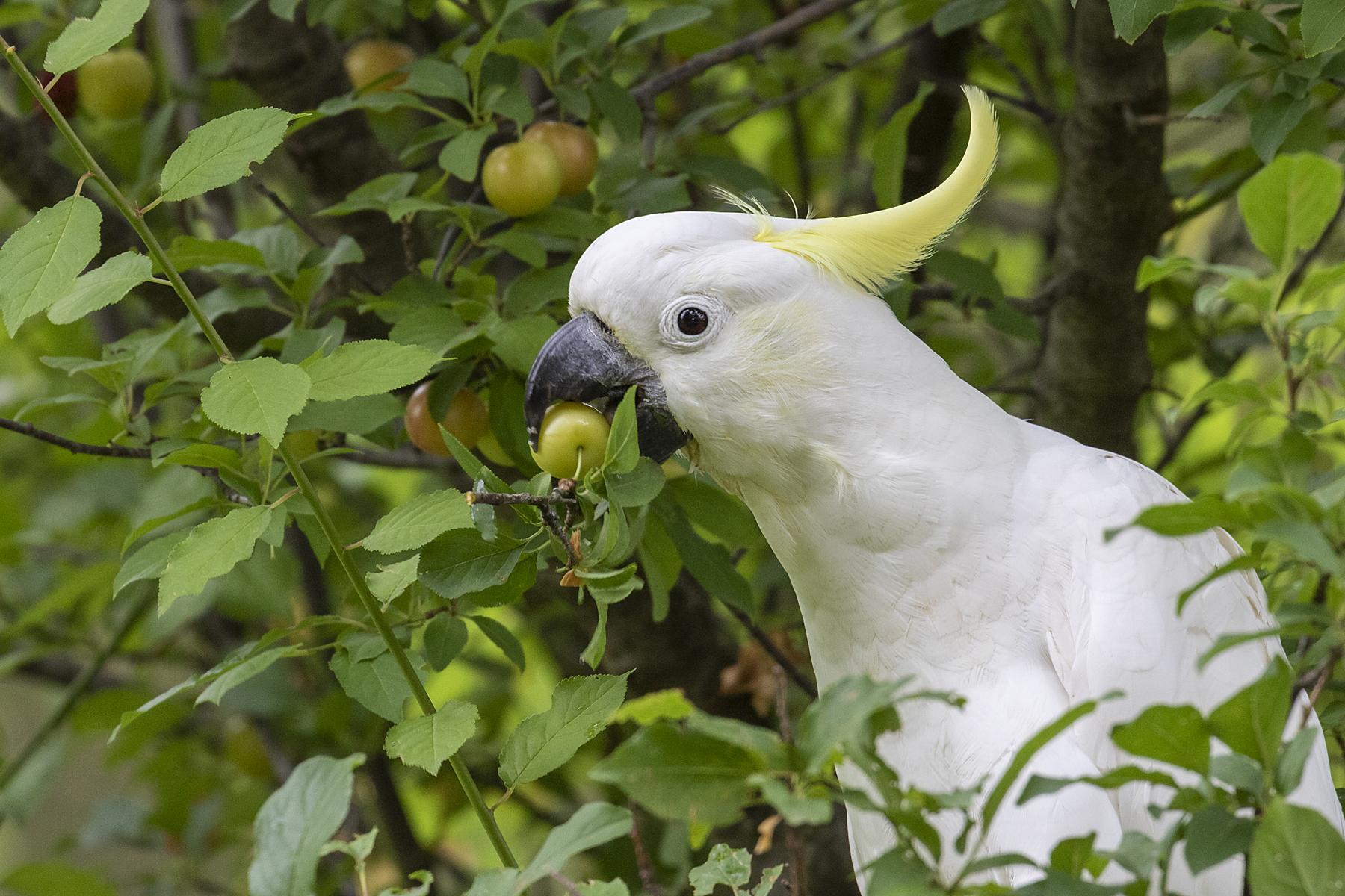 Sulphur-crested Cockatoo (Image ID 44312)