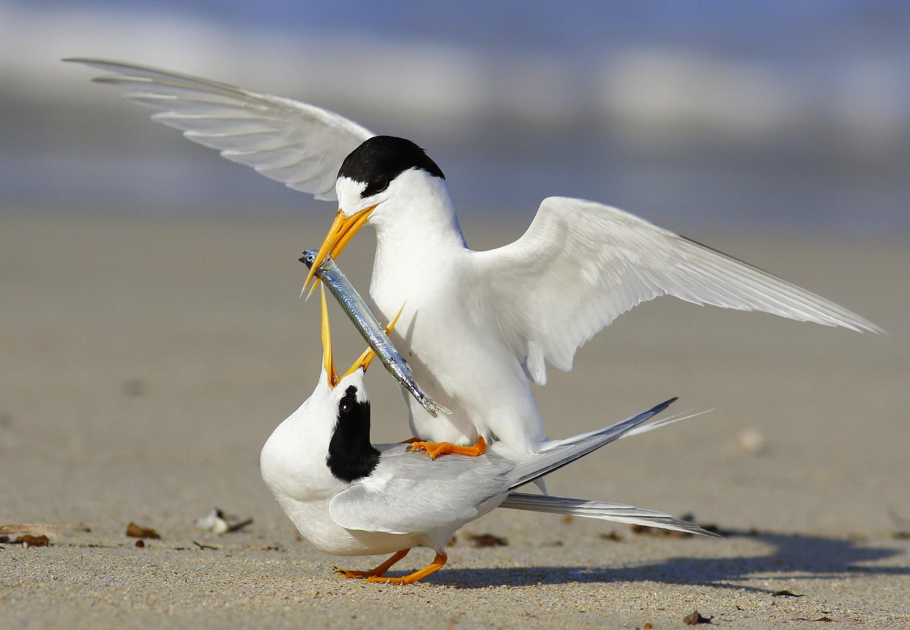 Fairy Tern (Image ID 44450)