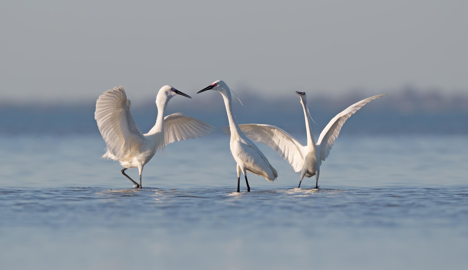 Little Egret (Image ID 44411)