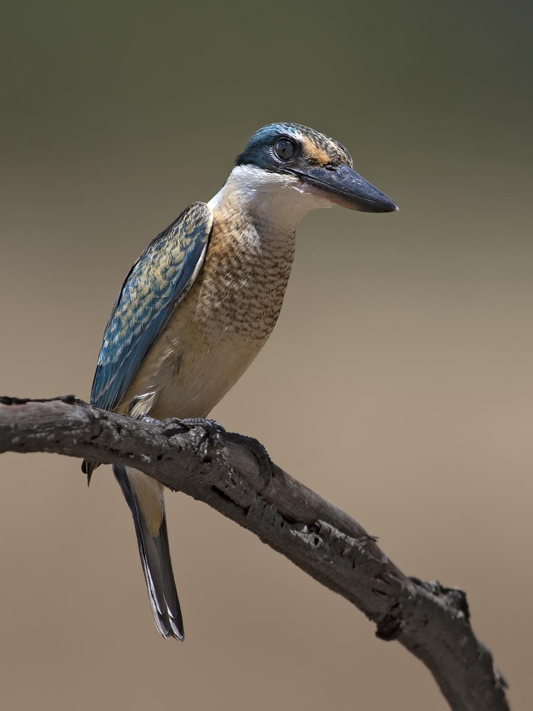 Sacred Kingfisher (Image ID 44119)