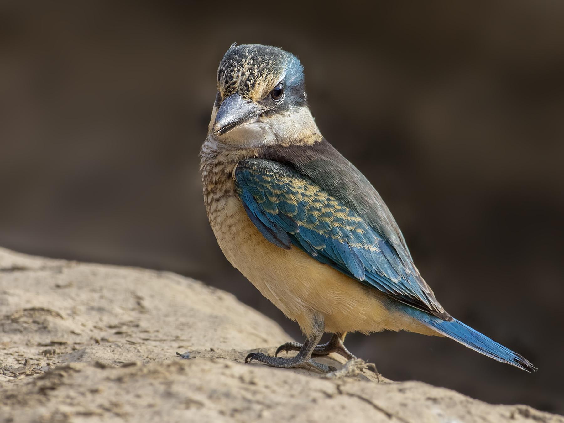 Sacred Kingfisher (Image ID 44120)