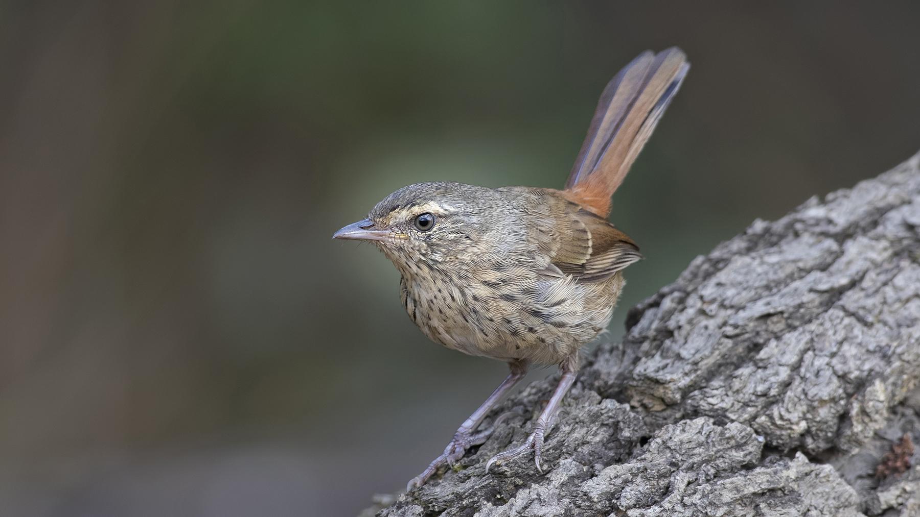 Chestnut-rumped Heathwren (Image ID 44122)
