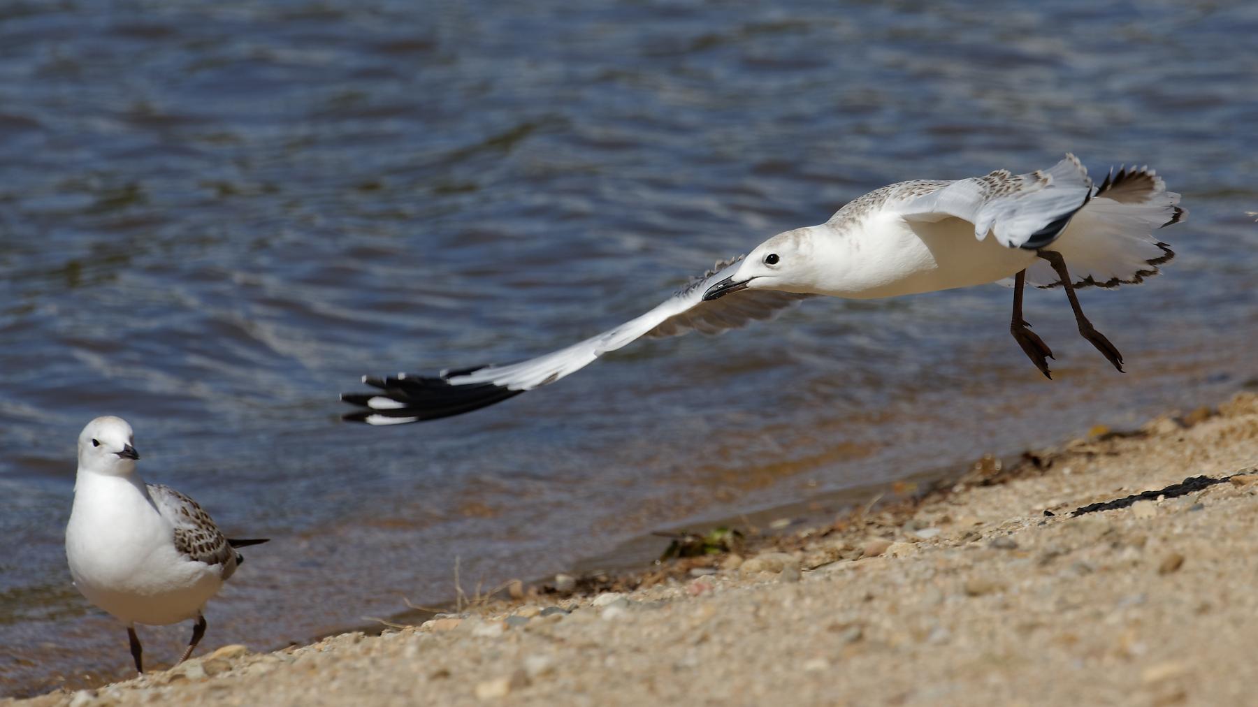 Silver Gull (Image ID 44361)