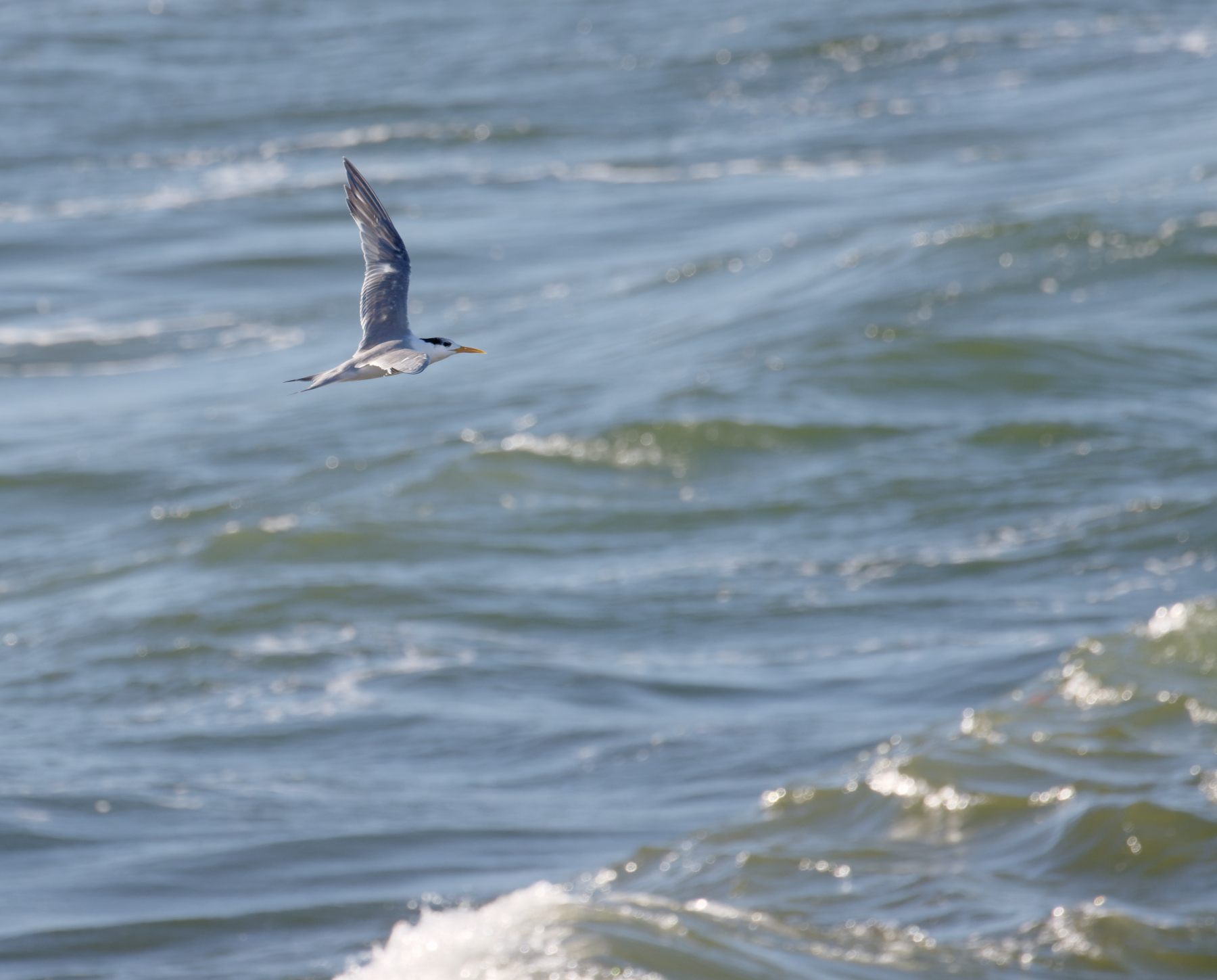 Greater Crested Tern (Image ID 44309)