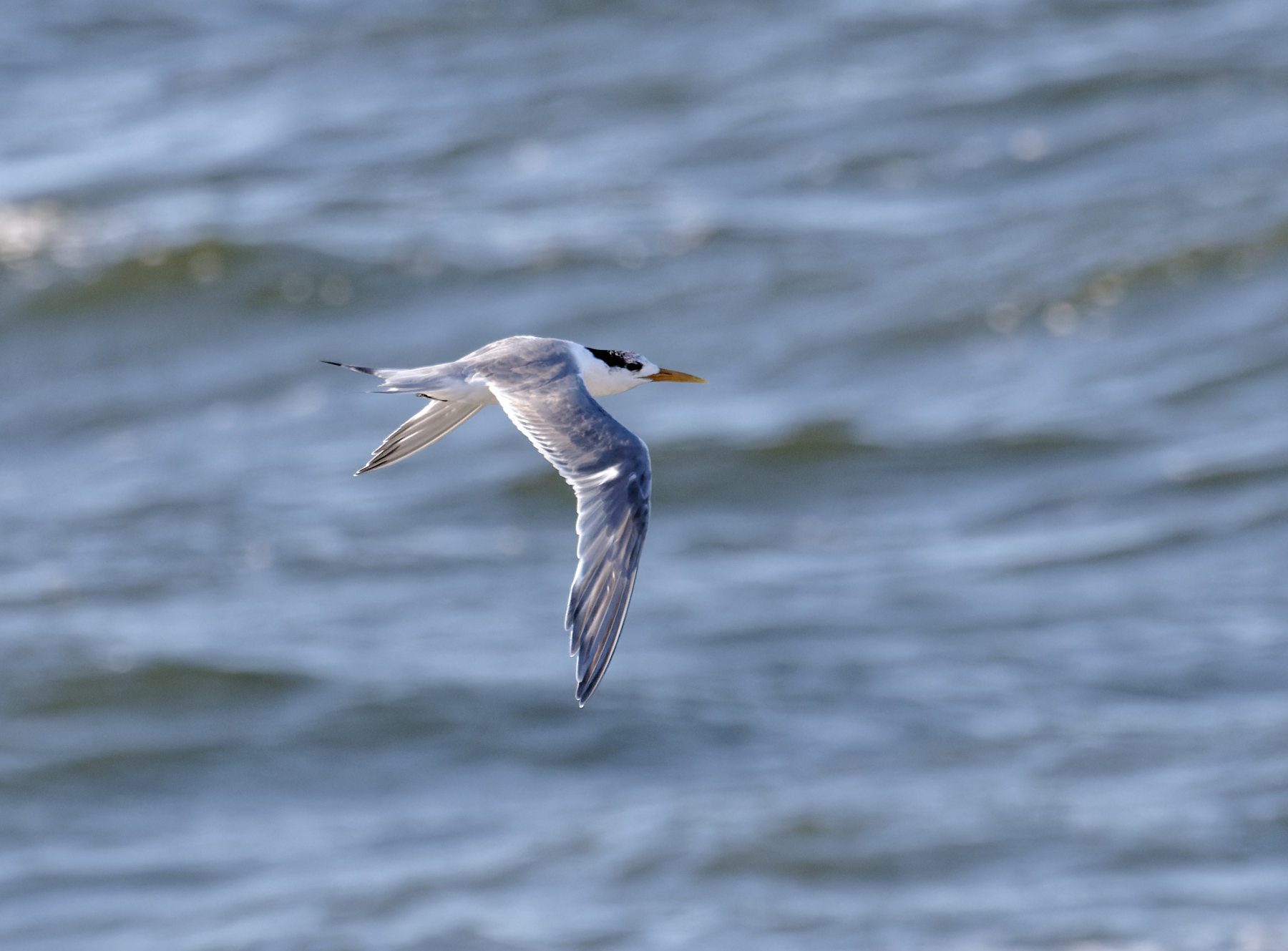 Greater Crested Tern (Image ID 44310)