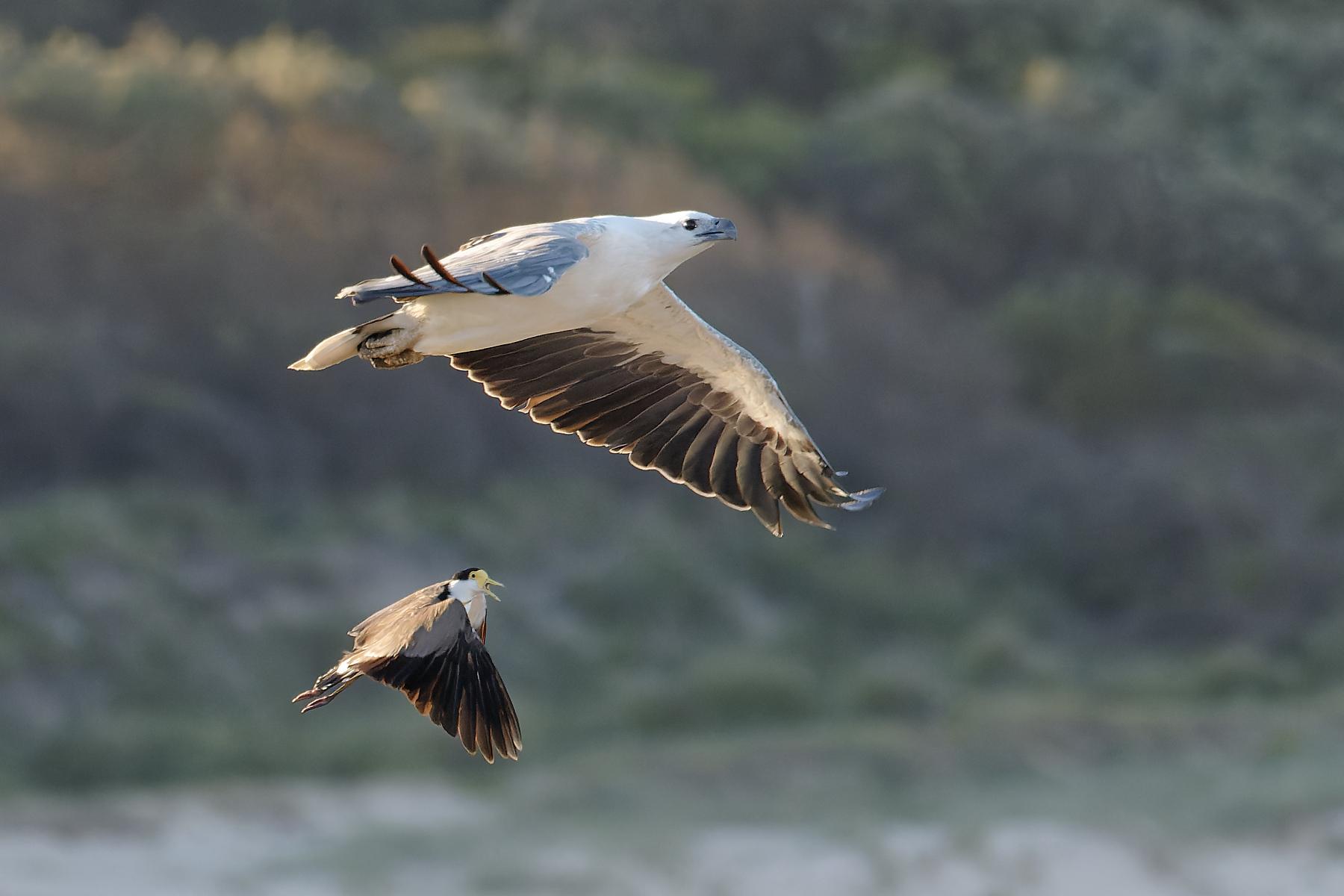 Masked Lapwing, White-bellied Sea-Eagle (Image ID 44222)