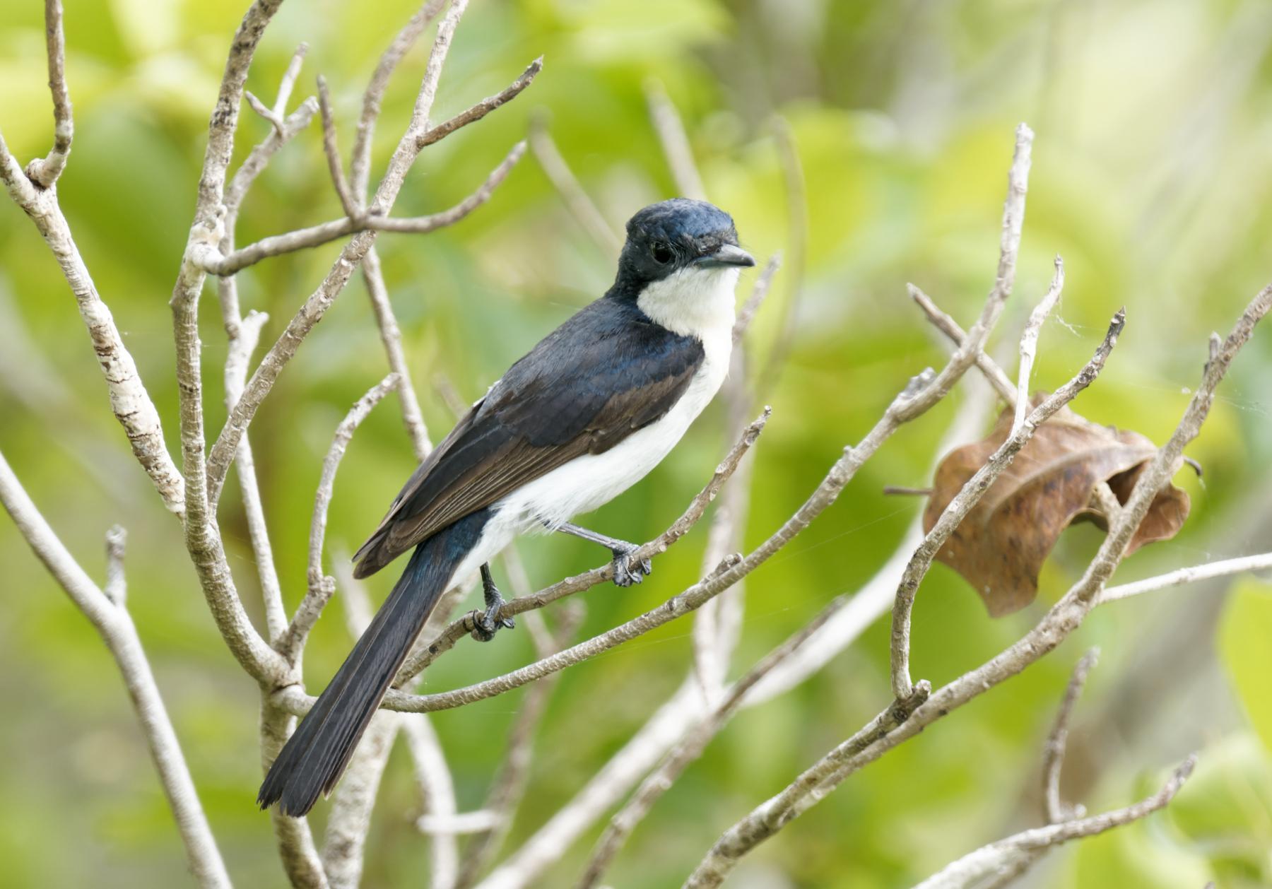 Paperbark Flycatcher (Image ID 44118)