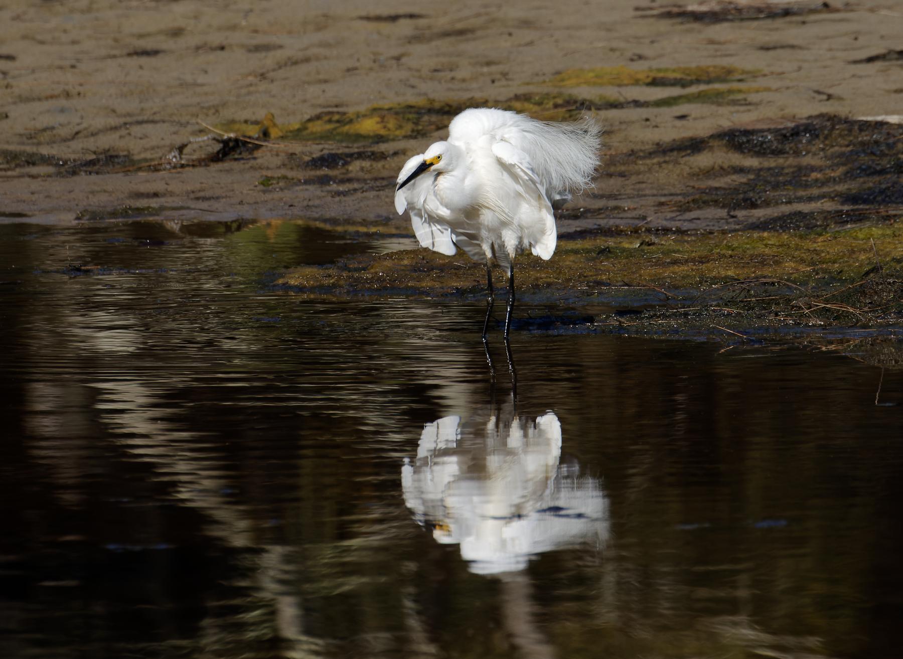 Little Egret (Image ID 44431)