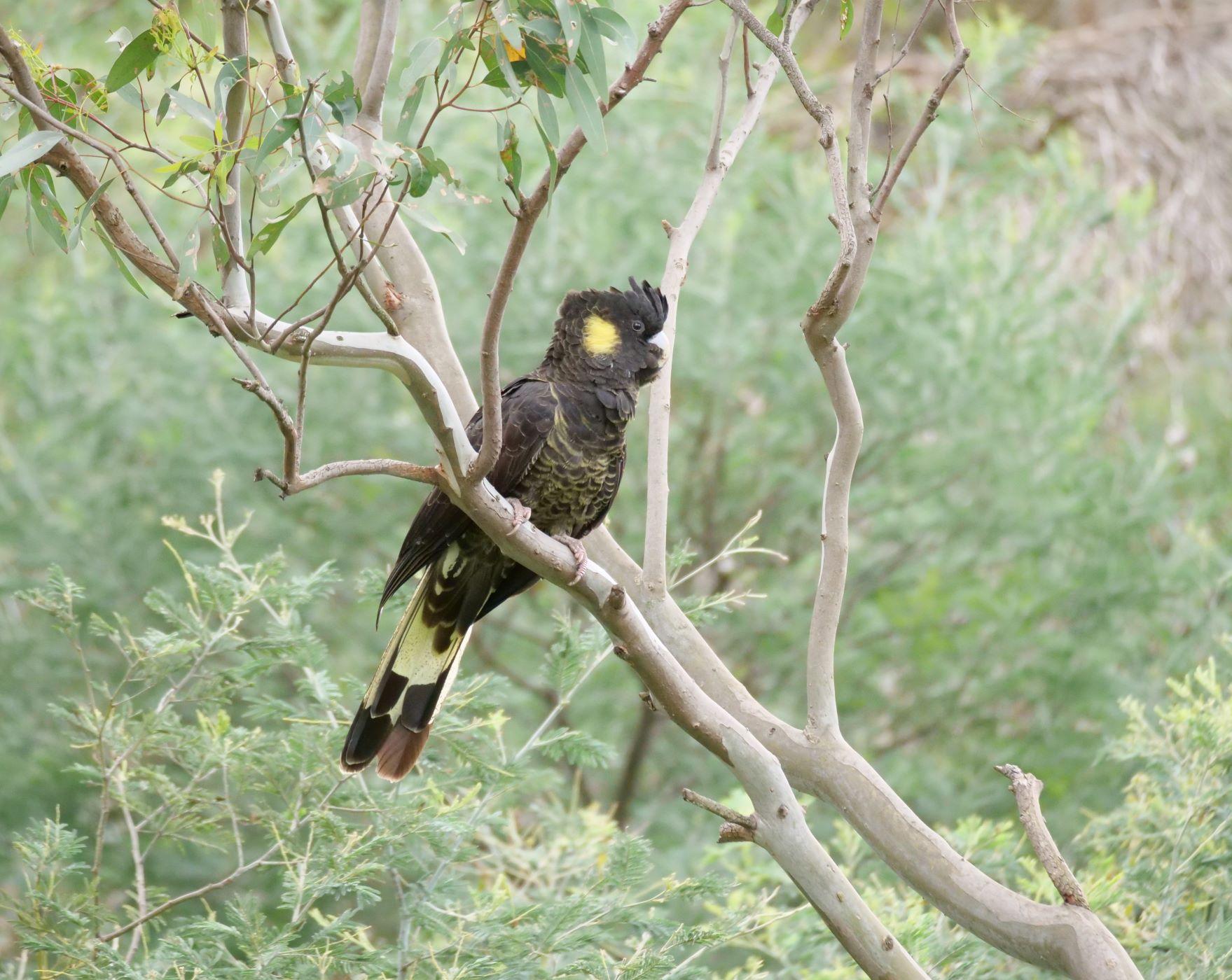 Yellow-tailed Black-Cockatoo (Image ID 44526)