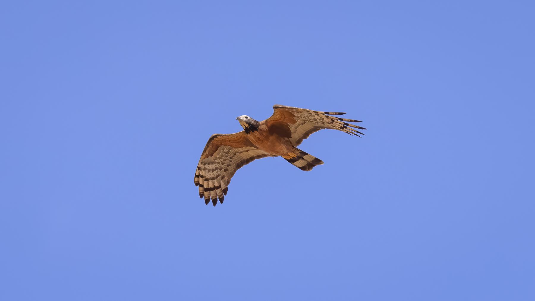 Oriental Honey-buzzard (V) (Image ID 44098)