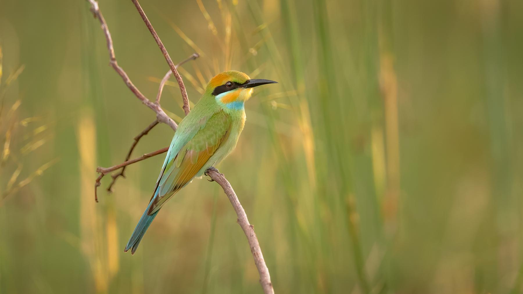 Rainbow Bee-eater (Image ID 44441)