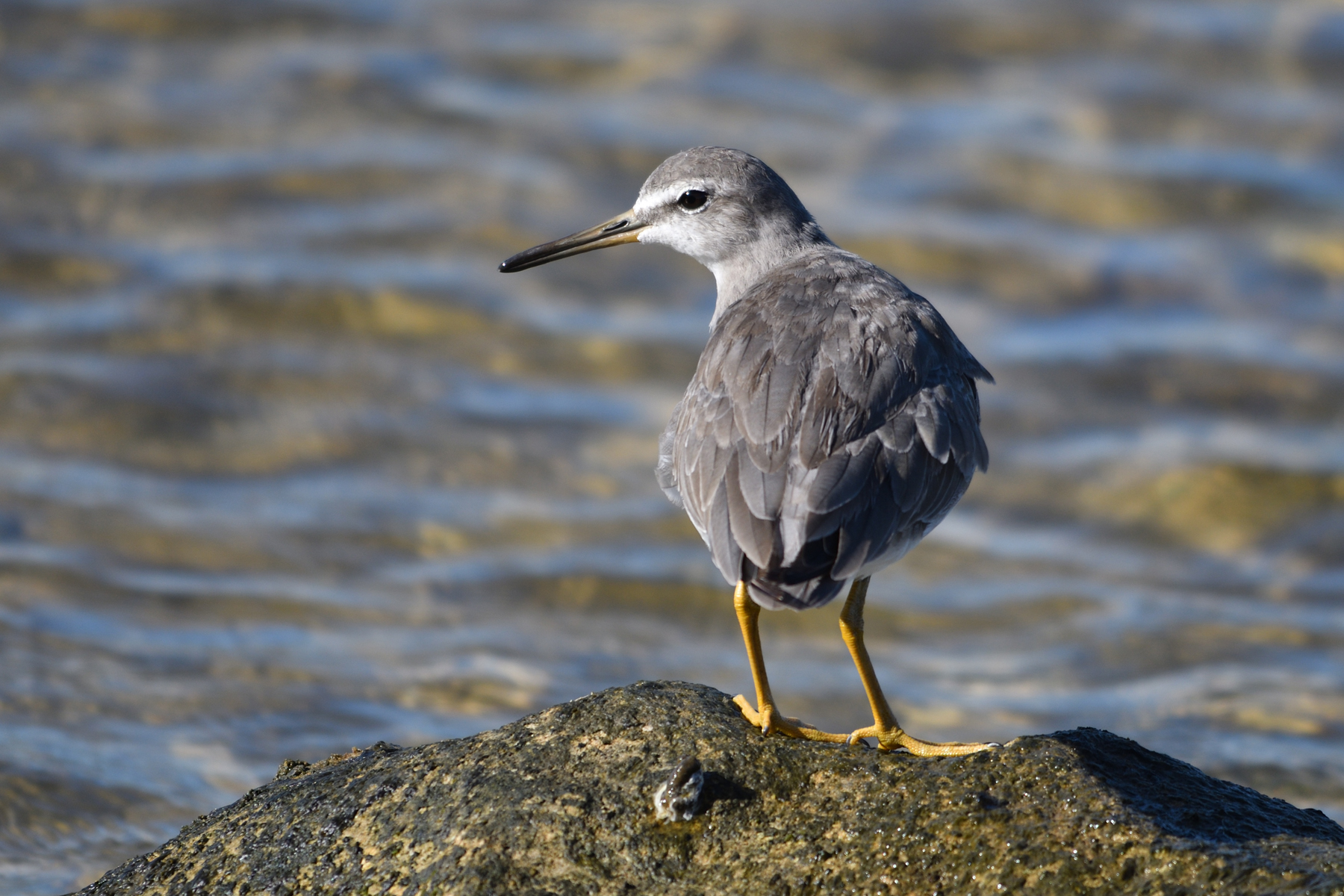 Grey-tailed Tattler (Image ID 44211)