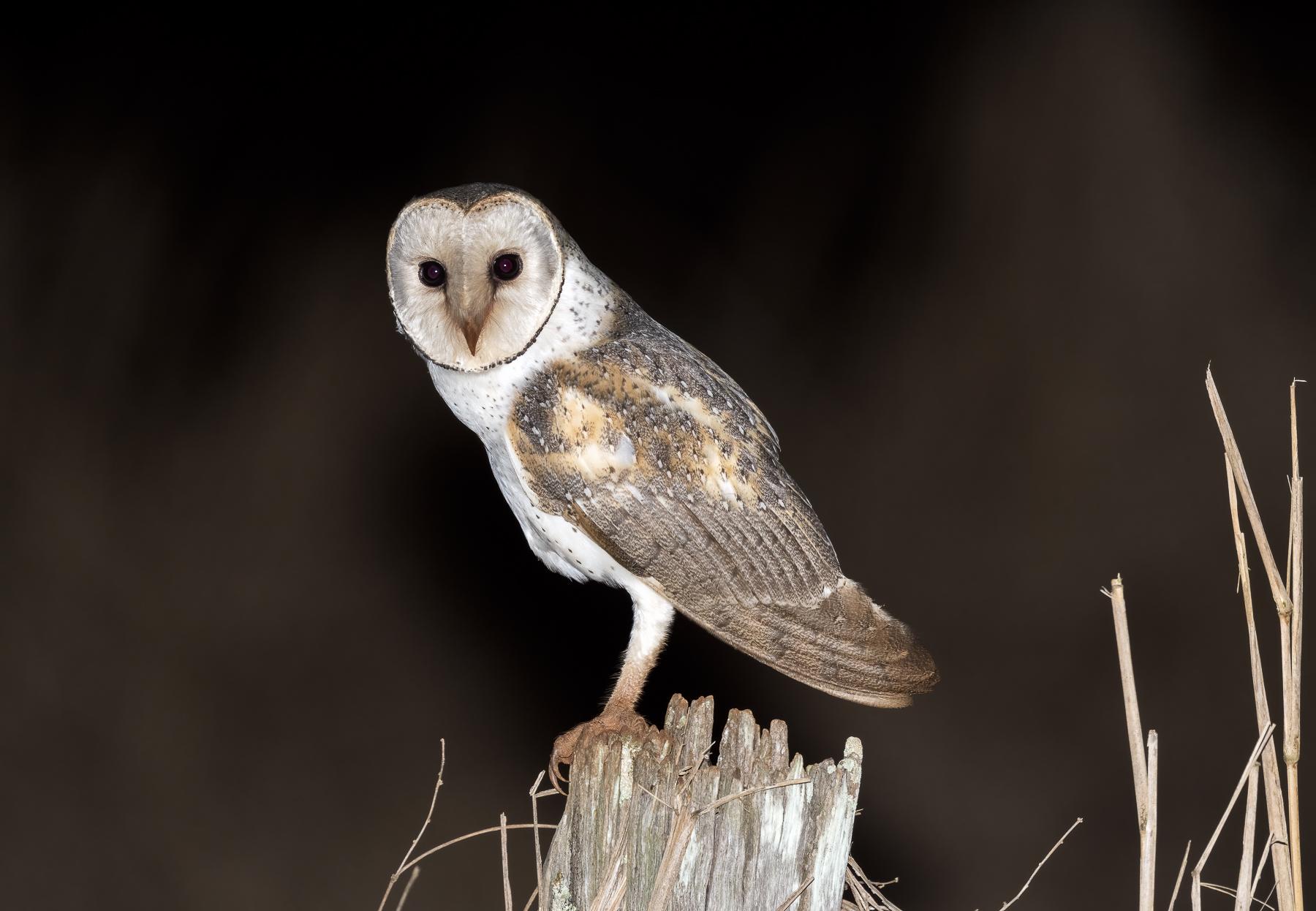 Barn Owl (Image ID 44505)