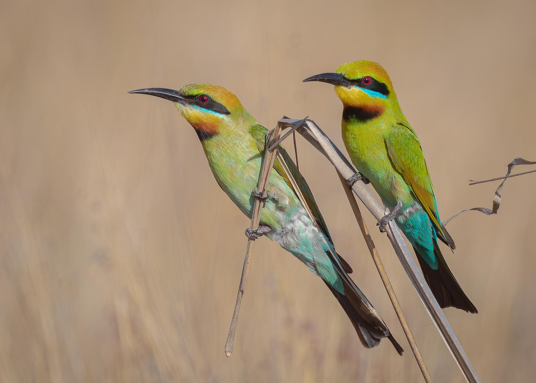Rainbow Bee-eater (Image ID 44467)