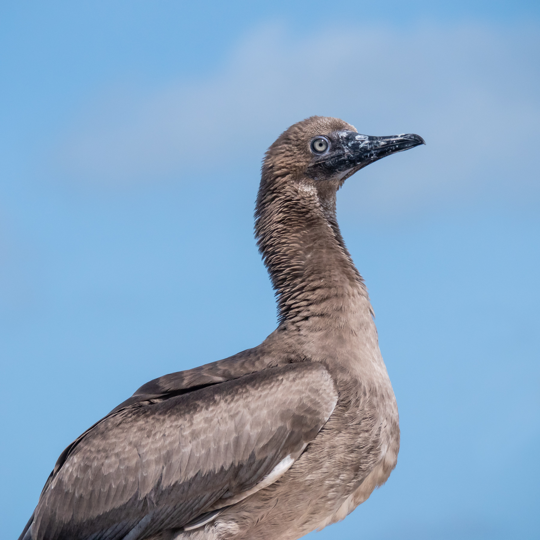 Red-footed Booby (Image ID 44422)