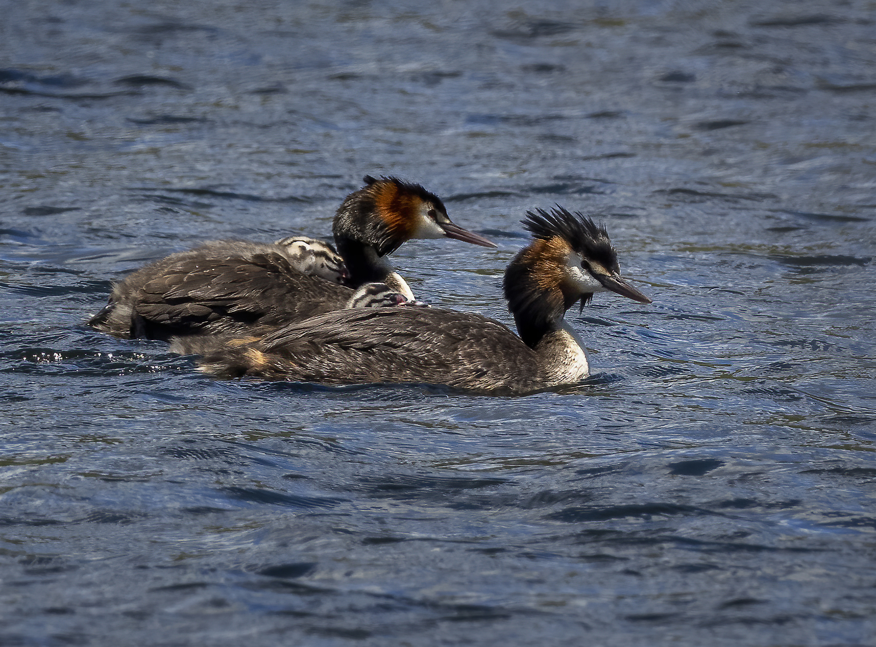 Great Crested Grebe (Image ID 44410)