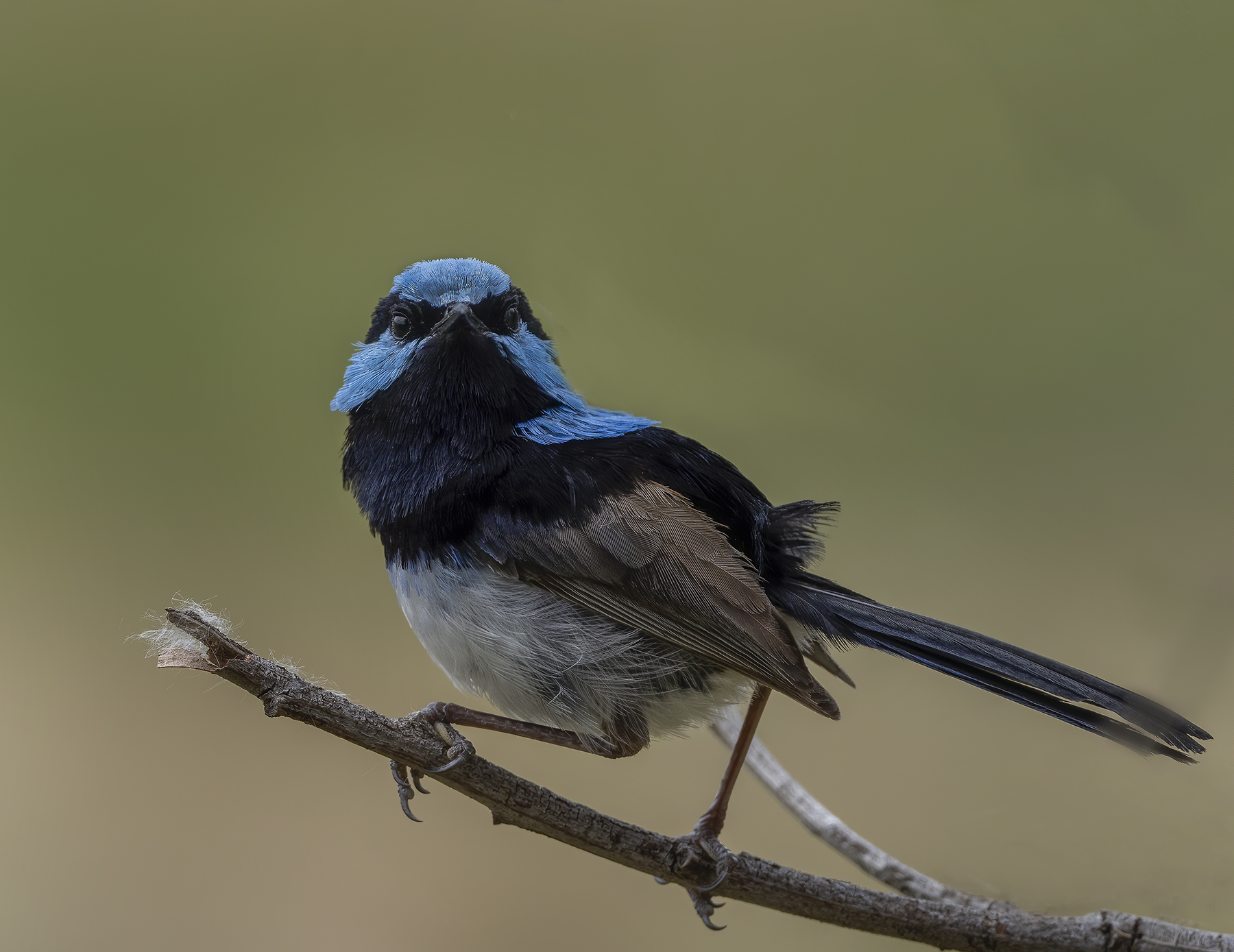 Superb Fairy-wren (Image ID 44240)